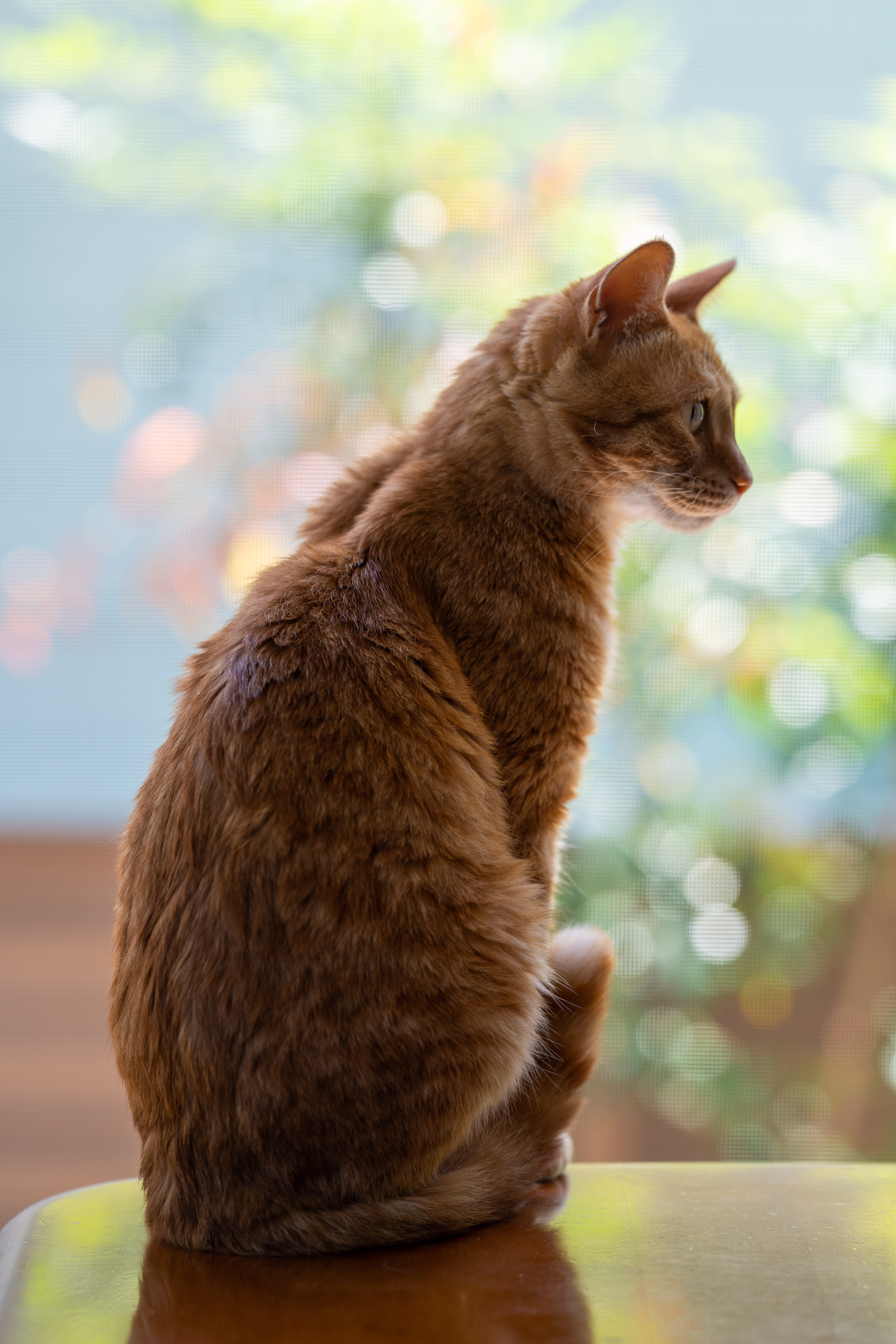 77465 download wallpaper Animals, Cat, Pet, Profile, Redhead screensavers and pictures for free