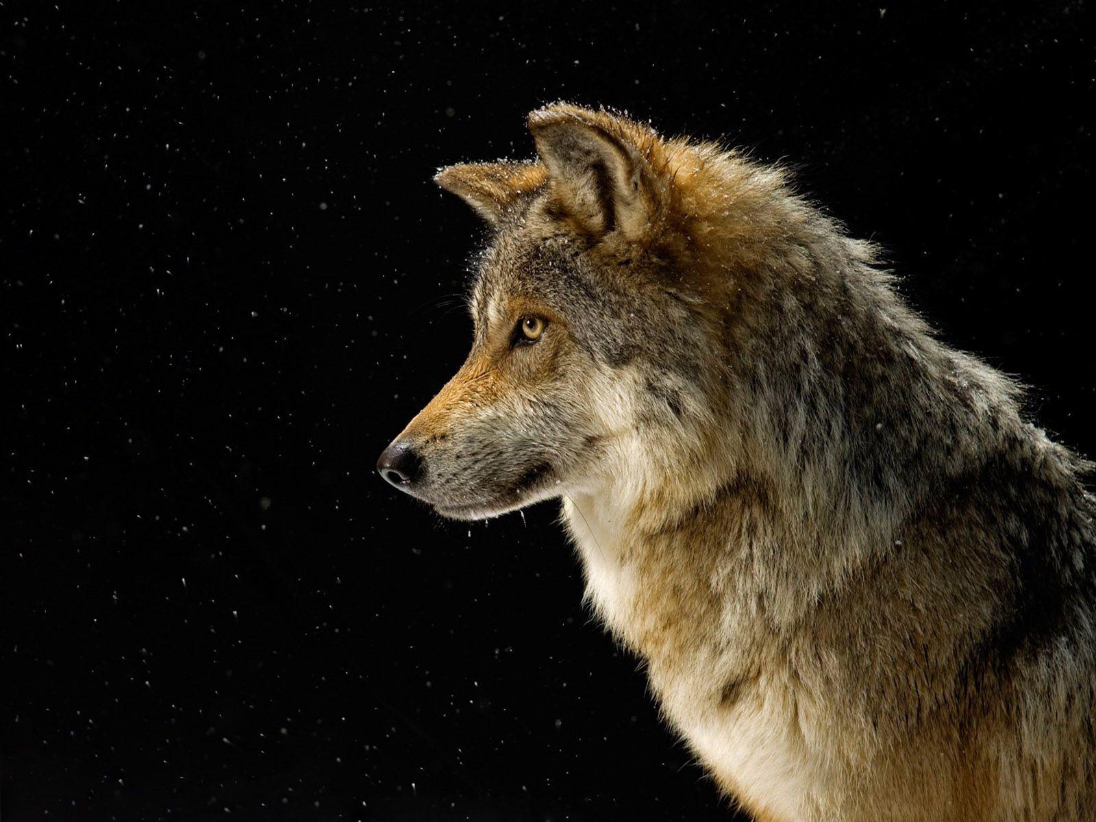 132388 Hintergrundbild herunterladen Tiere, Sky, Sterne, Schnee, Hund, Wolf - Bildschirmschoner und Bilder kostenlos