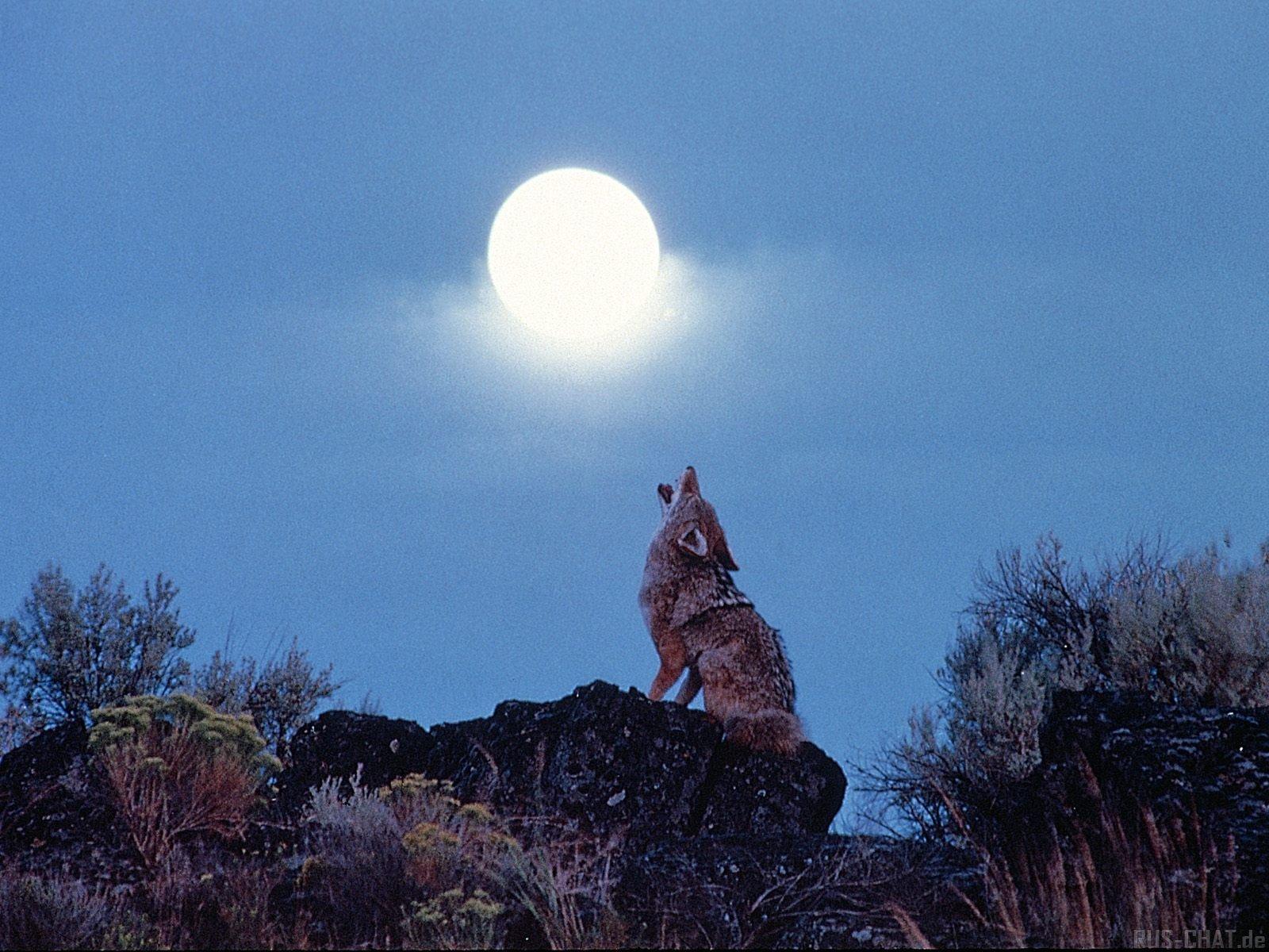 10482 Hintergrundbild herunterladen Tiere, Wölfe, Mond - Bildschirmschoner und Bilder kostenlos
