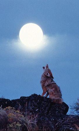 10482 baixar papel de parede Animais, Lobos, Lua - protetores de tela e imagens gratuitamente
