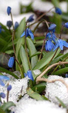 21341 descargar fondo de pantalla Plantas, Flores, Snowdrops: protectores de pantalla e imágenes gratis