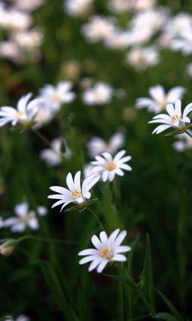 134617 скачать Белые обои на телефон бесплатно, Цветы, Природа, Красота, Маленькие Белые картинки и заставки на мобильный