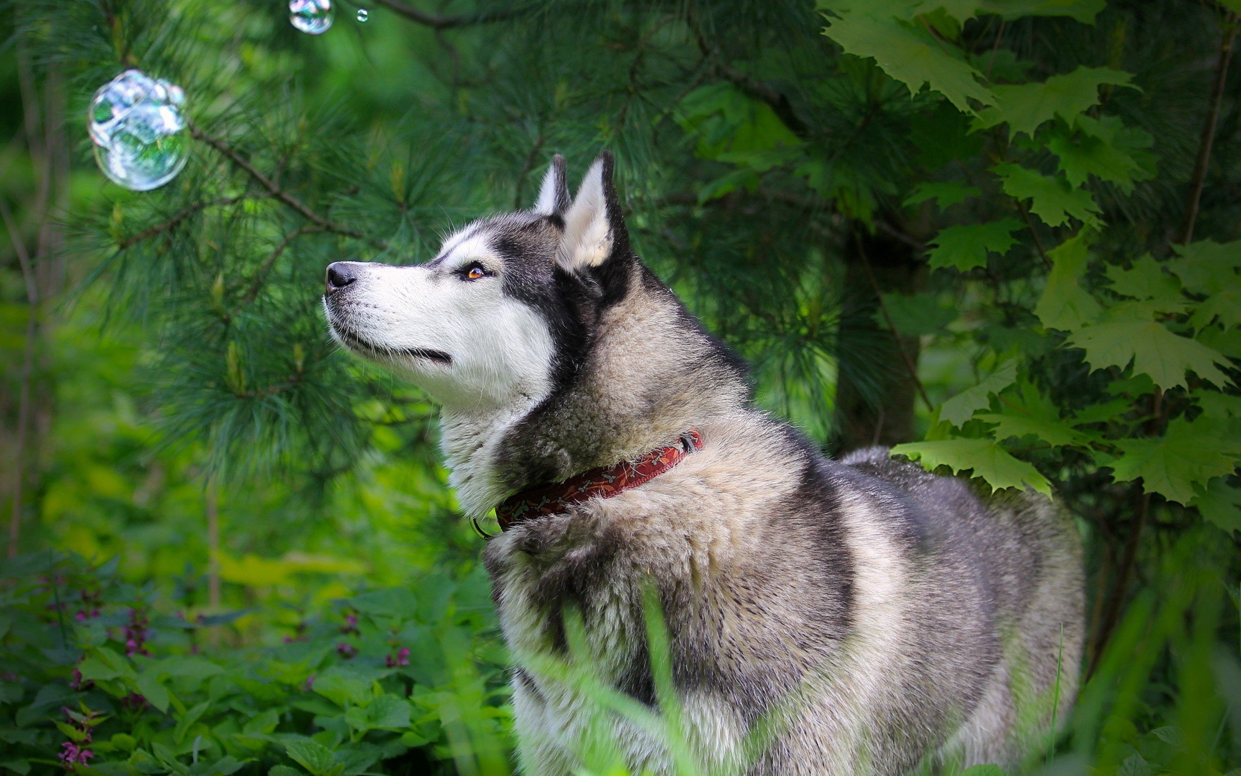 96835 Screensavers and Wallpapers Husky for phone. Download Animals, Grass, Bubbles, Dog, Stroll, Husky, Haska, Bubble pictures for free