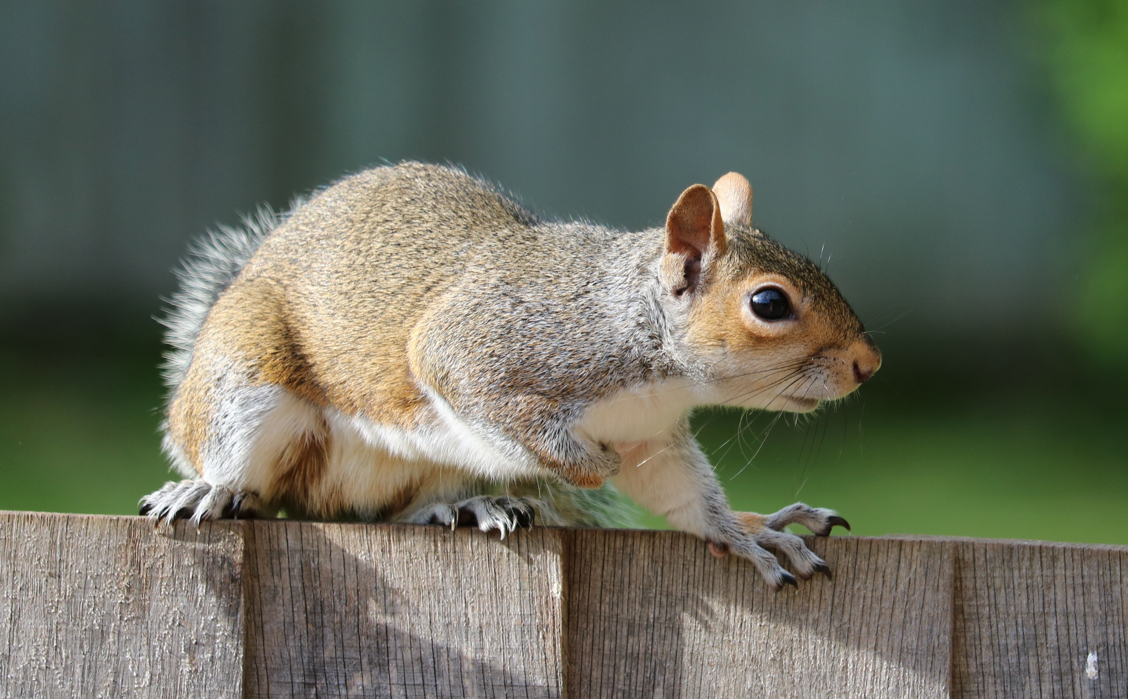 98459 Screensavers and Wallpapers Squirrel for phone. Download Animals, Squirrel, Fence, Fright, Animal pictures for free