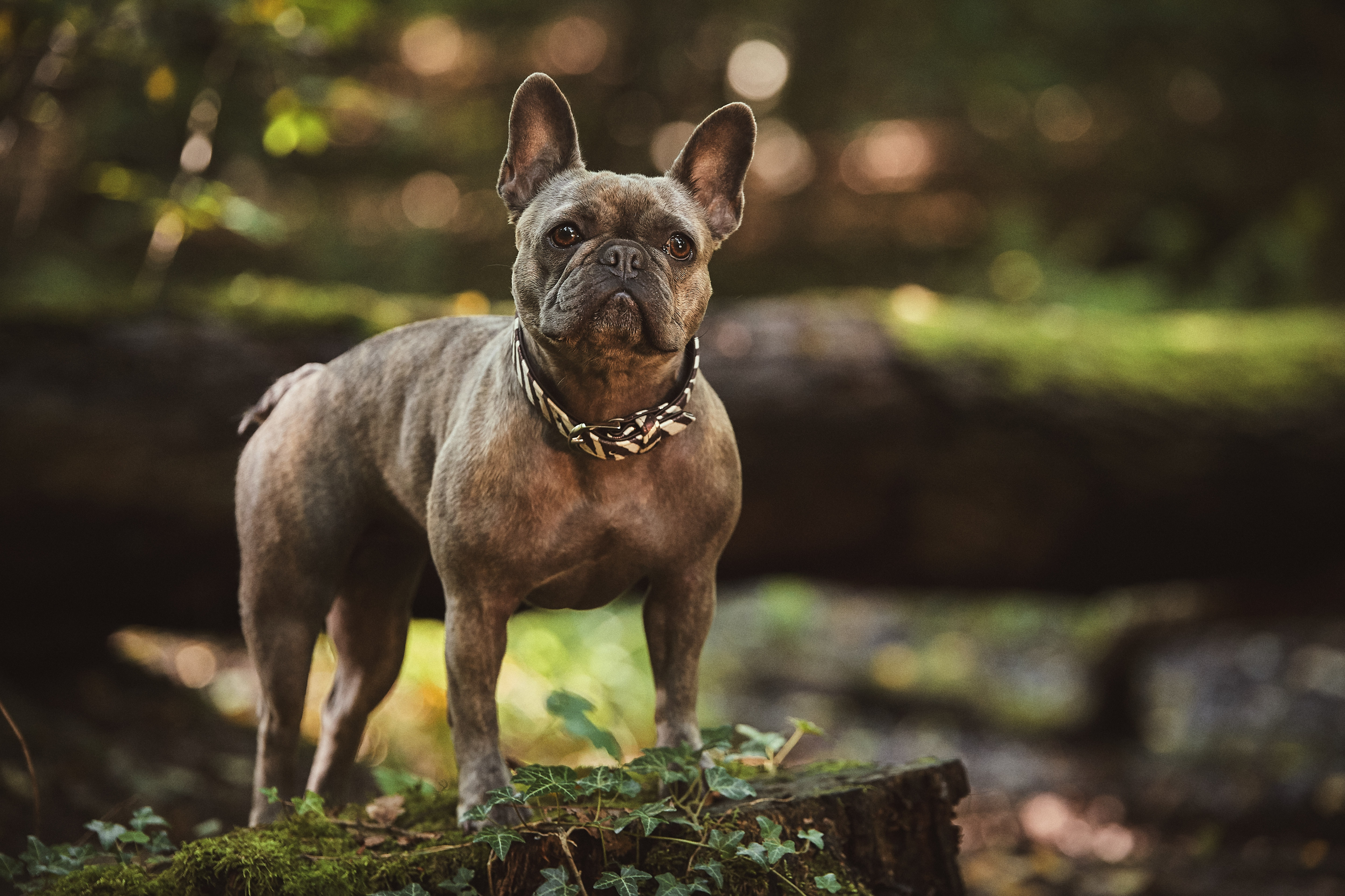 153106 download wallpaper Animals, Bulldog, Dog, Sight, Opinion screensavers and pictures for free