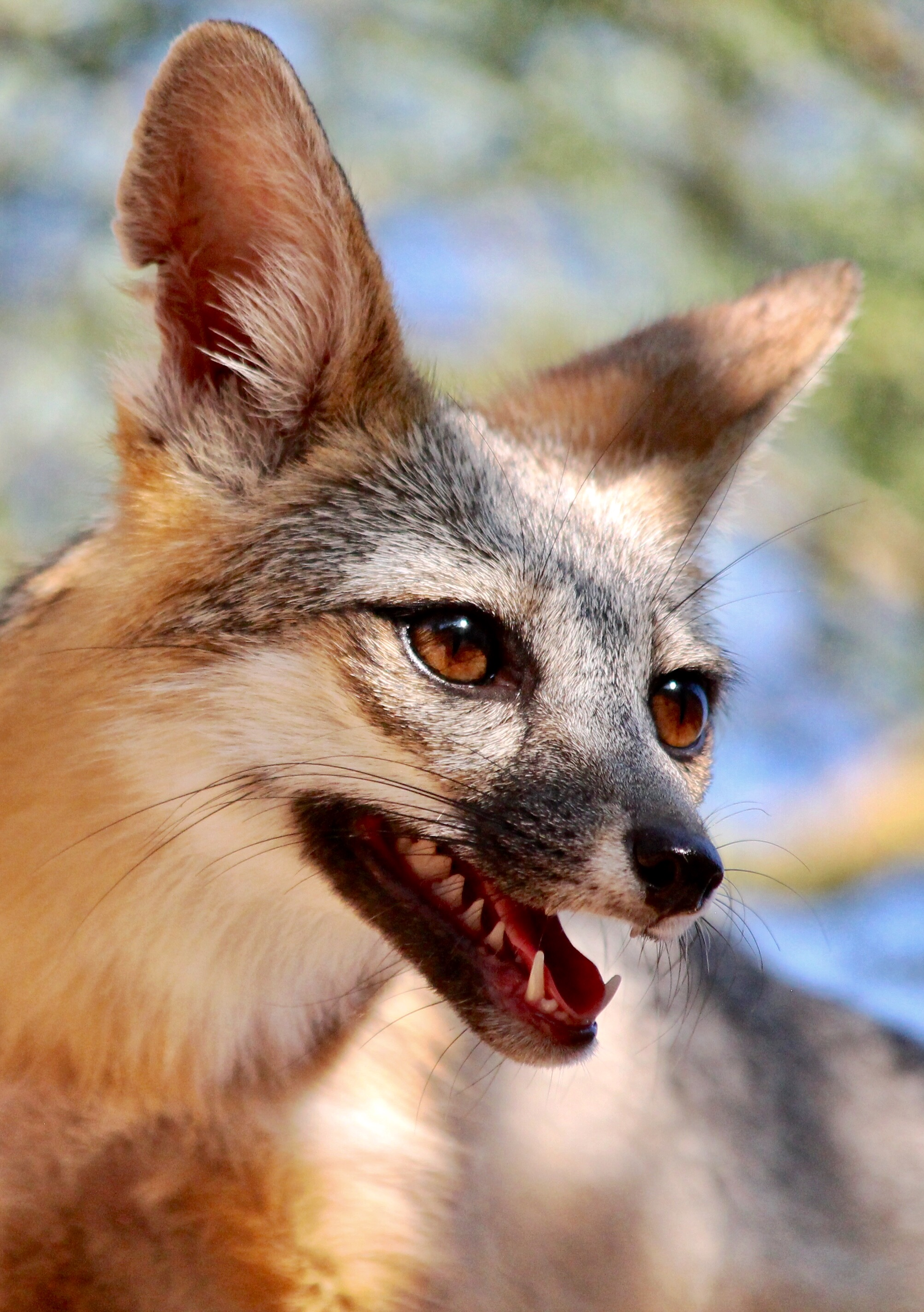 105785 download wallpaper Animals, Fox, Protruding Tongue, Tongue Stuck Out, Animal, Brown screensavers and pictures for free
