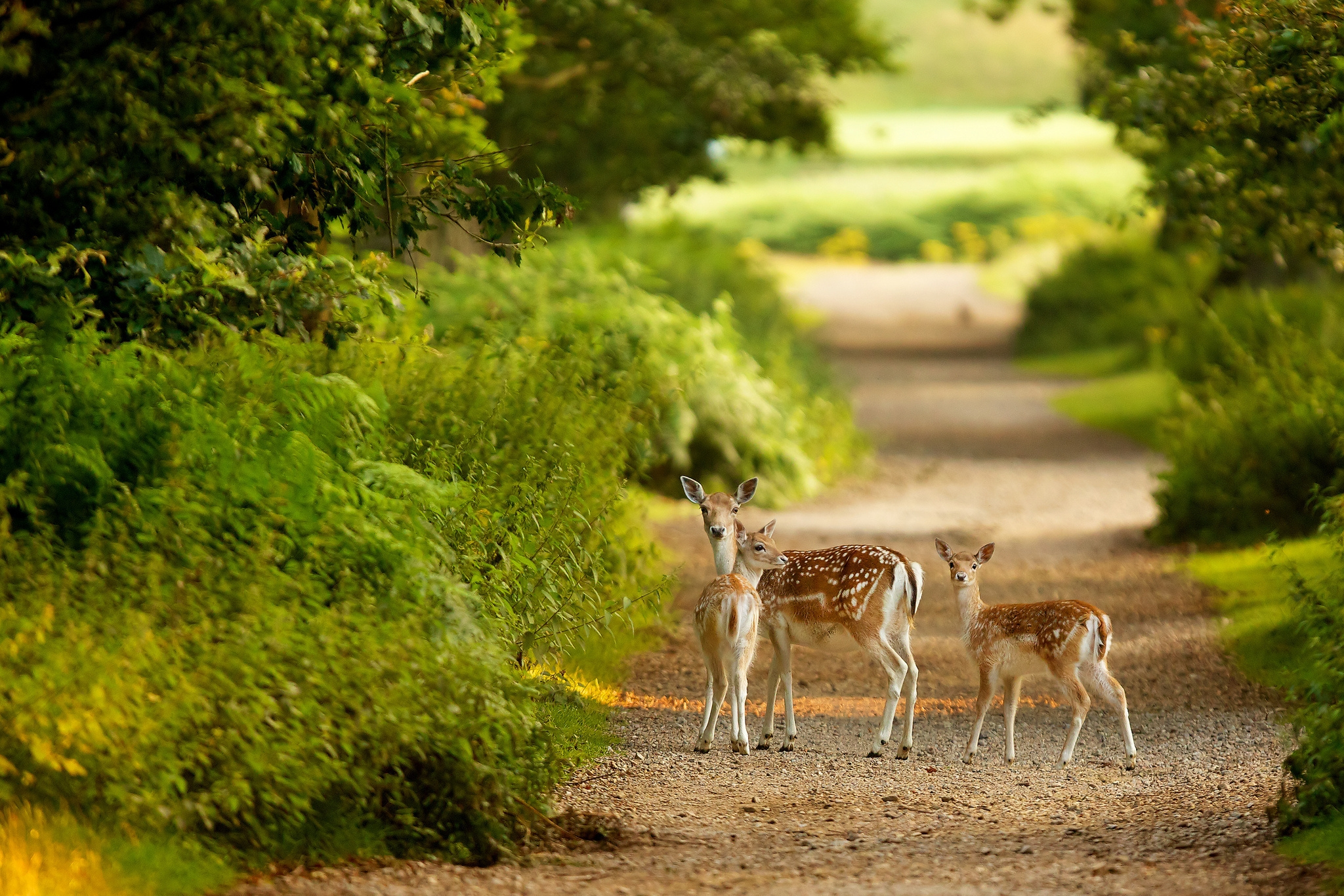 130563 download wallpaper Animals, Deers, Trail, Path, Stroll, Trees screensavers and pictures for free