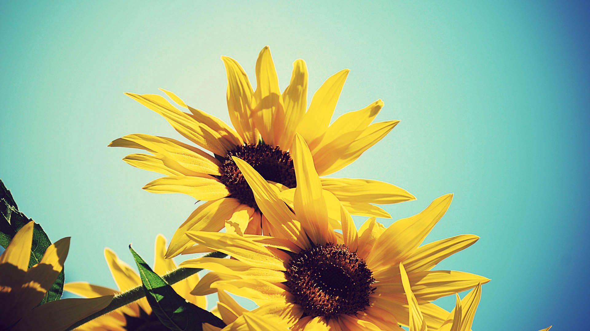 107023 Заставки и Обои Подсолнухи на телефон. Скачать Цветы, Растение, Цветение, Подсолнухи картинки бесплатно