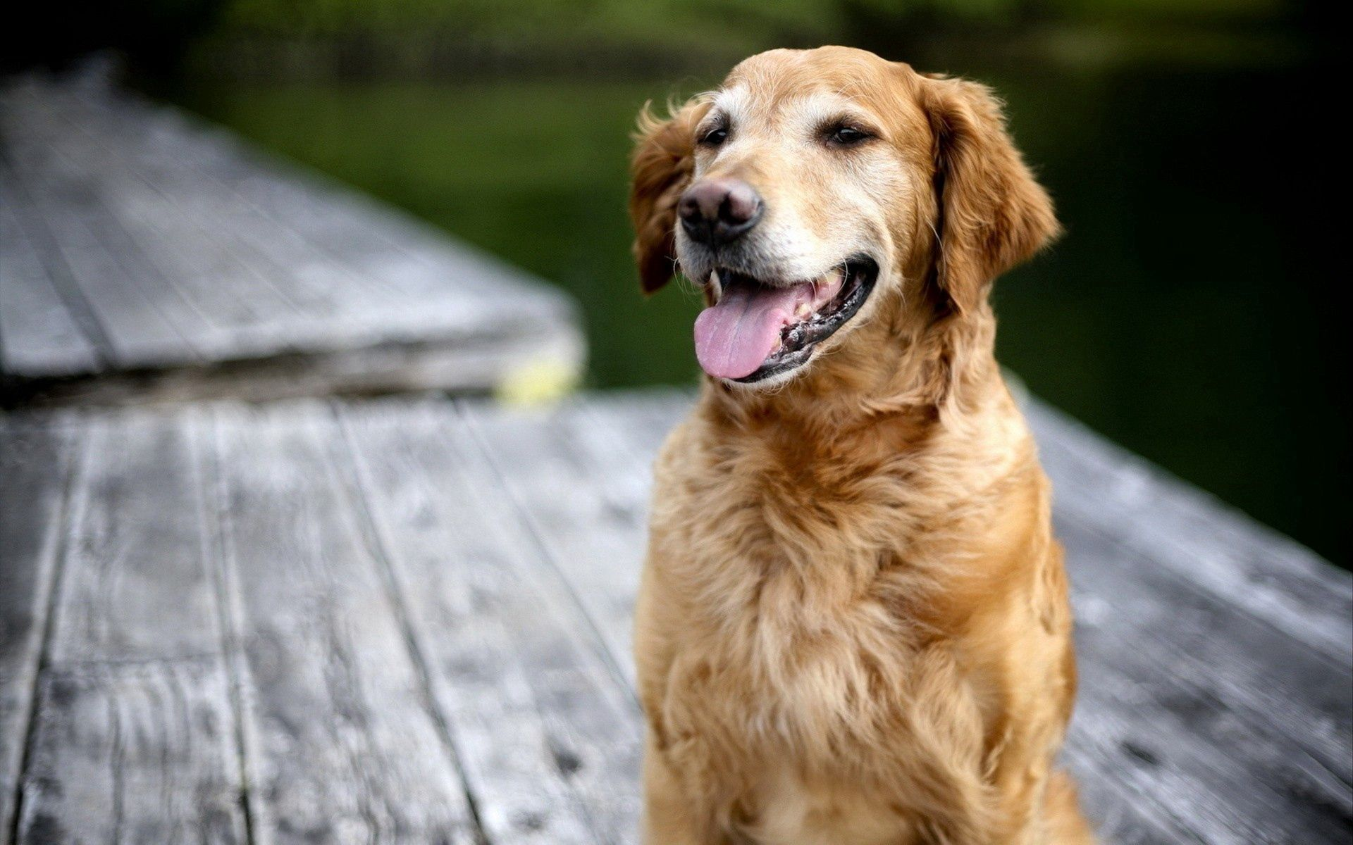66918 download wallpaper Animals, Dog, Labrador, Muzzle, Language, Tongue, Relaxation, Rest screensavers and pictures for free