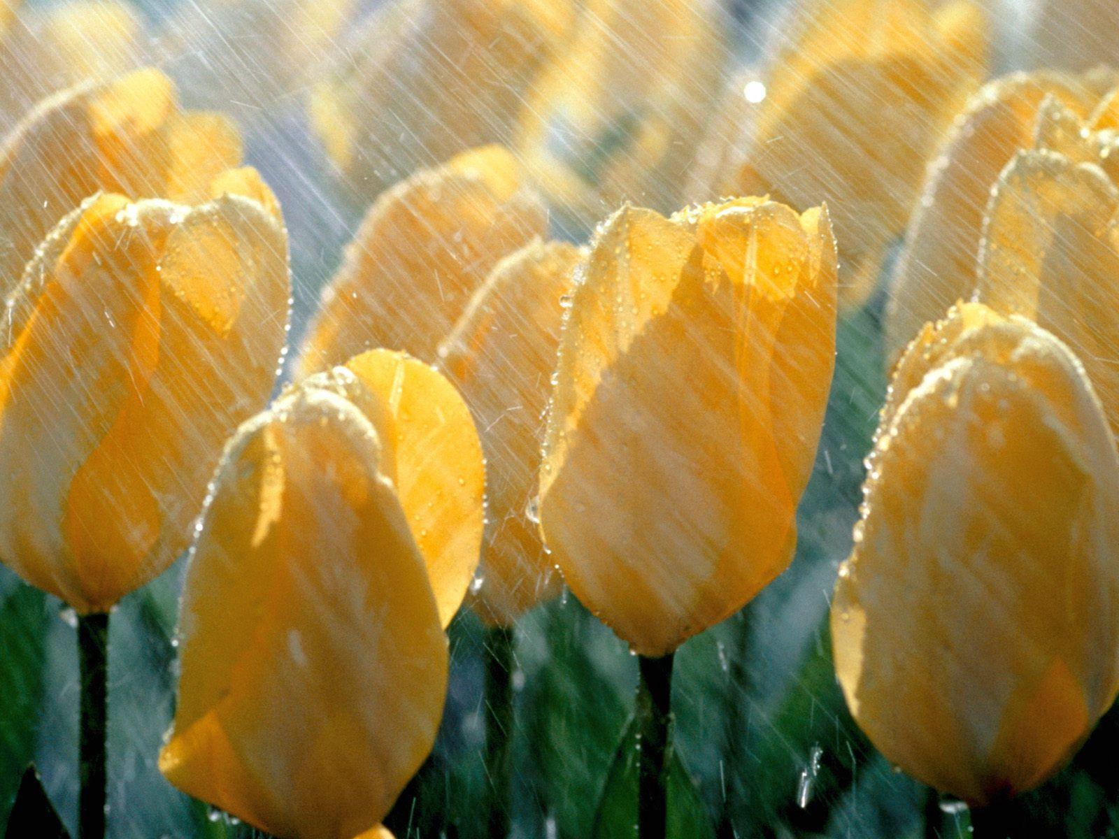 106016 скачать Желтые обои на телефон бесплатно, Цветы, Дождь, Тюльпаны, Капли, Свежесть Желтые картинки и заставки на мобильный