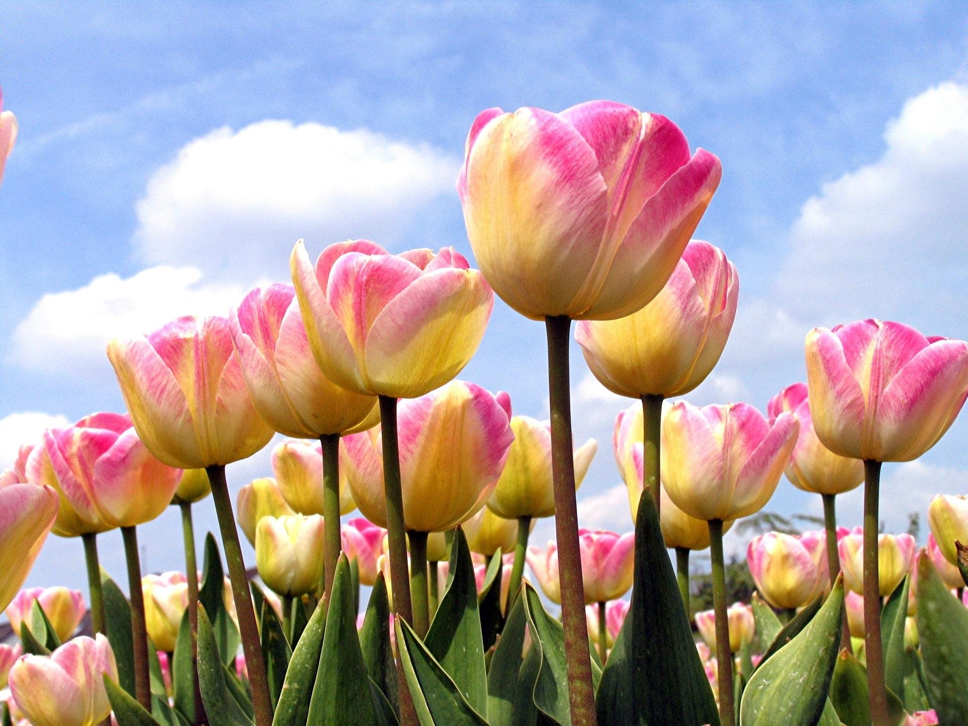 154147 скачать обои Цветы, Распущенные, Небо, Облака, Весна, Тюльпаны - заставки и картинки бесплатно