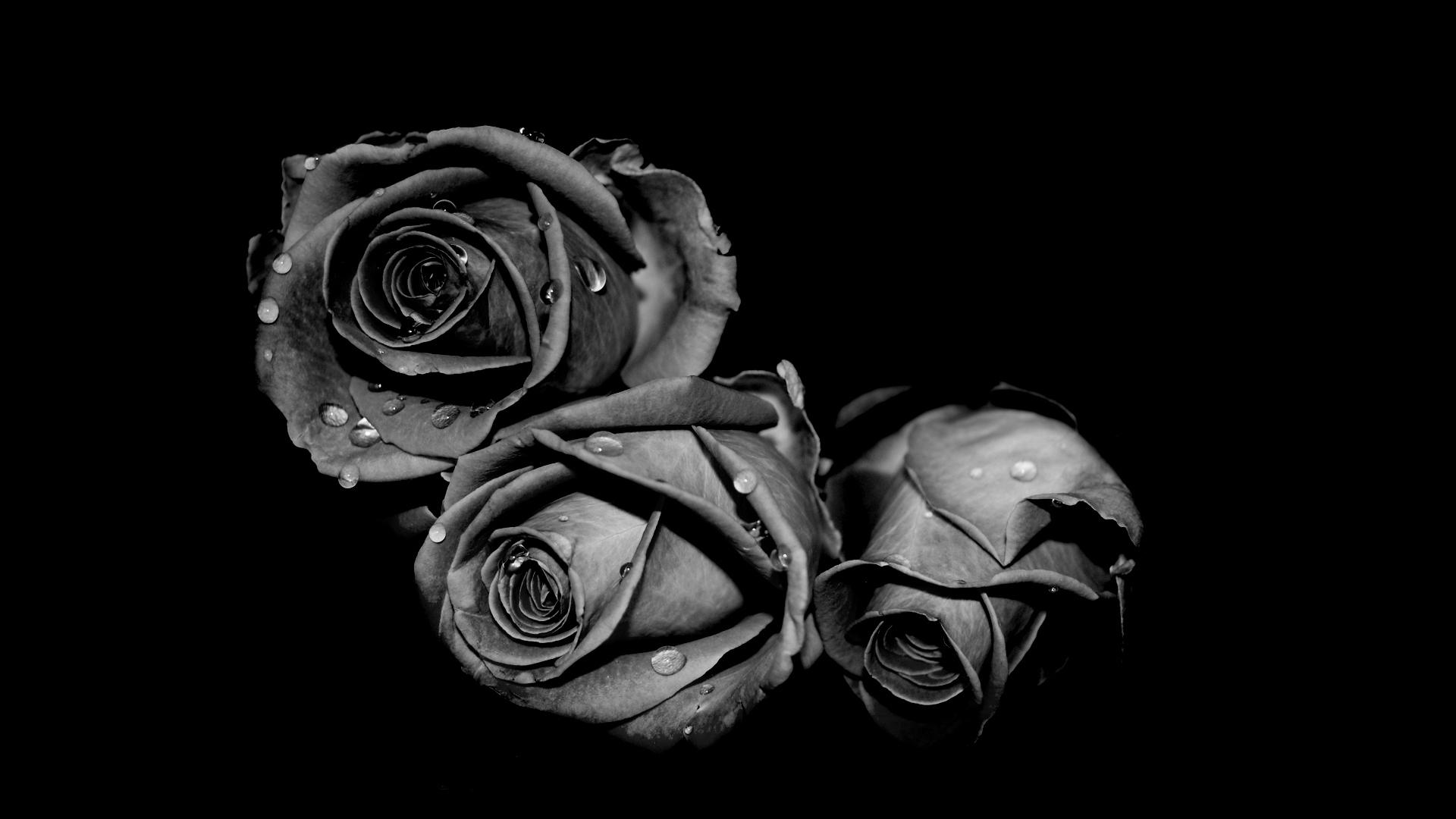 41242 скачать обои Растения, Цветы, Розы - заставки и картинки бесплатно