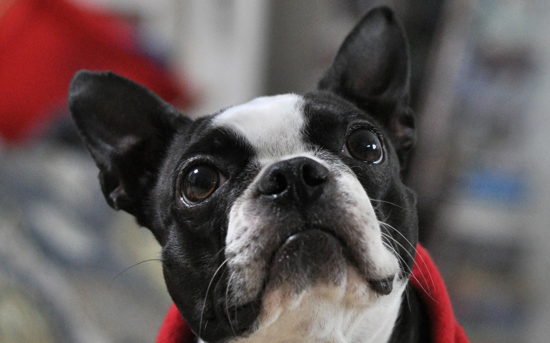 132956 download wallpaper Animals, French Bulldog, Muzzle, Eyes, Ears, Spotted, Spotty screensavers and pictures for free