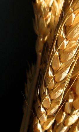 7768 скачать обои Растения, Пшеница - заставки и картинки бесплатно