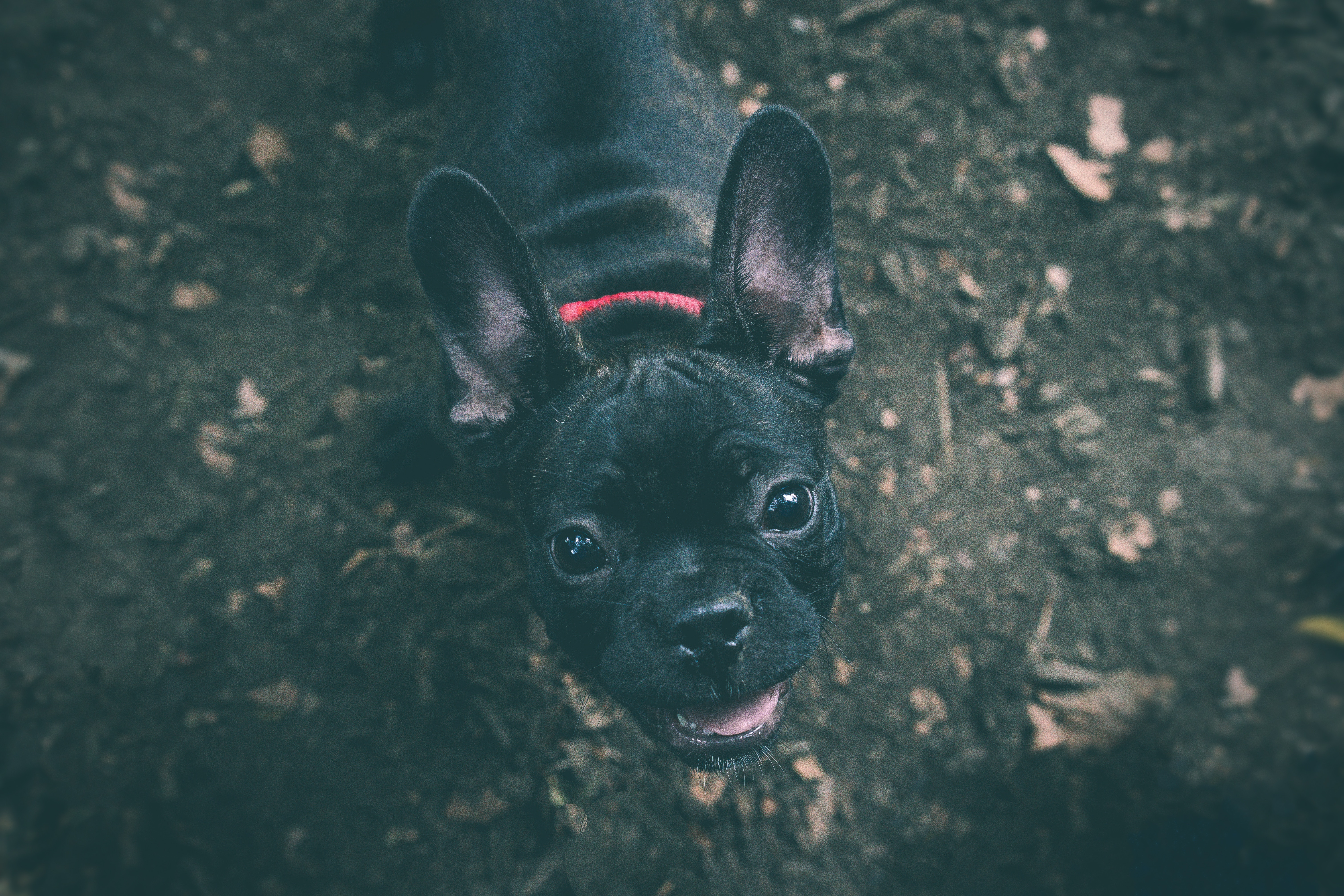 148973 download wallpaper Animals, Dog, Bulldog, Muzzle screensavers and pictures for free