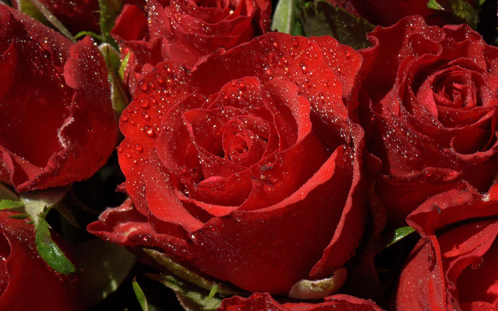 28489 download wallpaper Plants, Roses, Drops screensavers and pictures for free