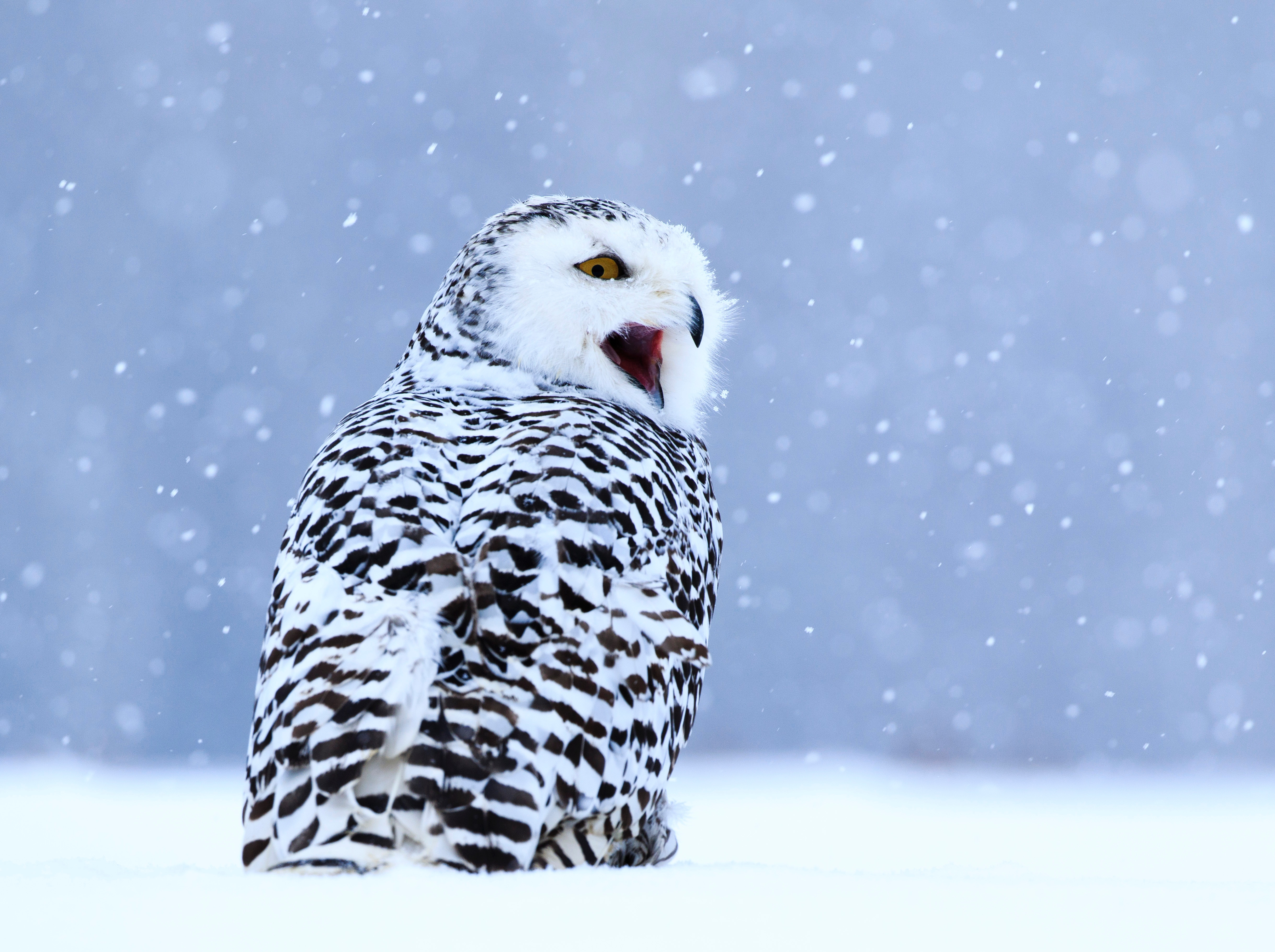 110359 download wallpaper Animals, Owl, White Owl, Polar Owl, Bird, Snow, Winter screensavers and pictures for free