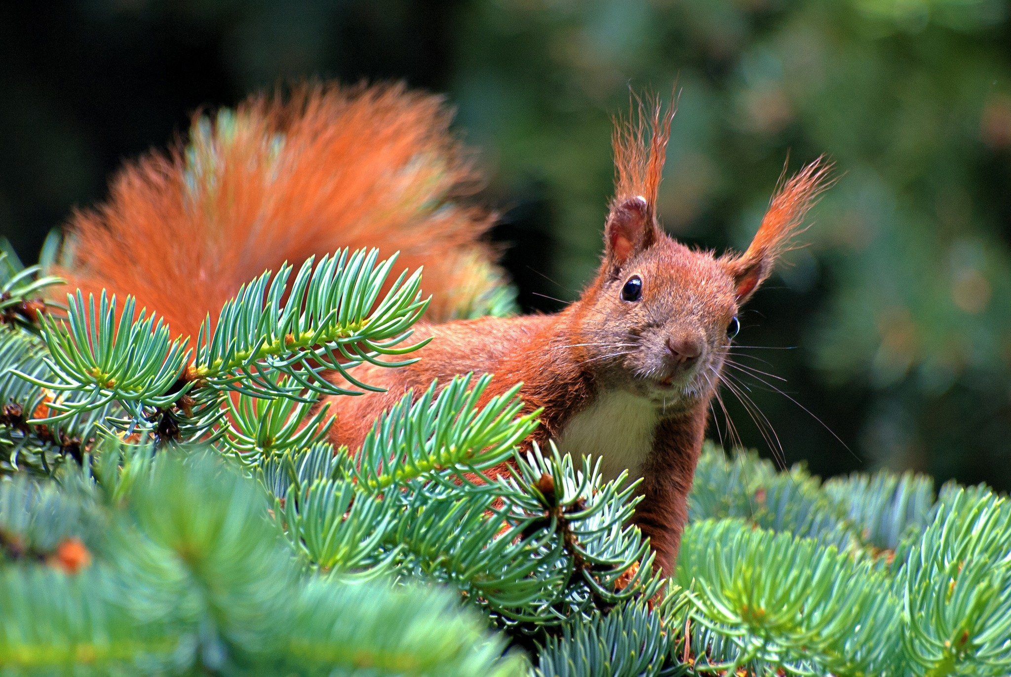 148938 download wallpaper Animals, Spruce, Fir, Branch, Paw, Squirrel, Needles screensavers and pictures for free
