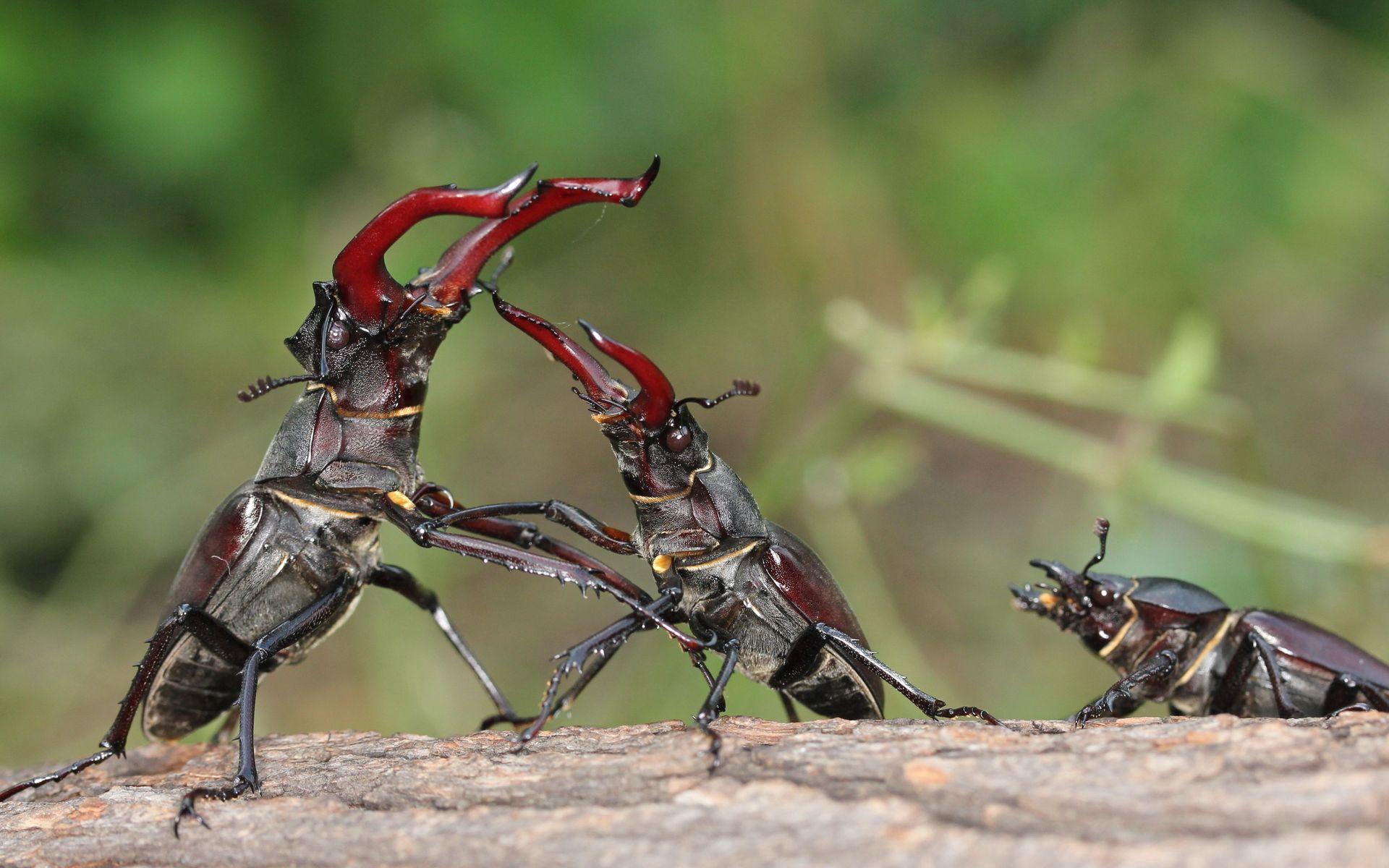146200 Salvapantallas y fondos de pantalla Insectos en tu teléfono. Descarga imágenes de Animales, Insectos, Escarabajo Ciervo, Ciervo Volante, Lucha, Escaramuza, Pelear, Batalla gratis
