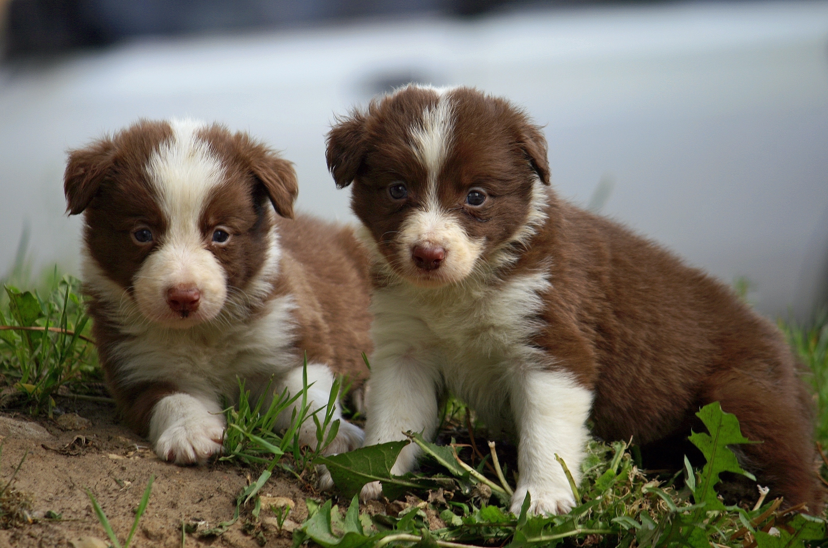 123719 download wallpaper Animals, Puppies, Couple, Pair, Sit, Spotted, Spotty, Nice, Sweetheart screensavers and pictures for free