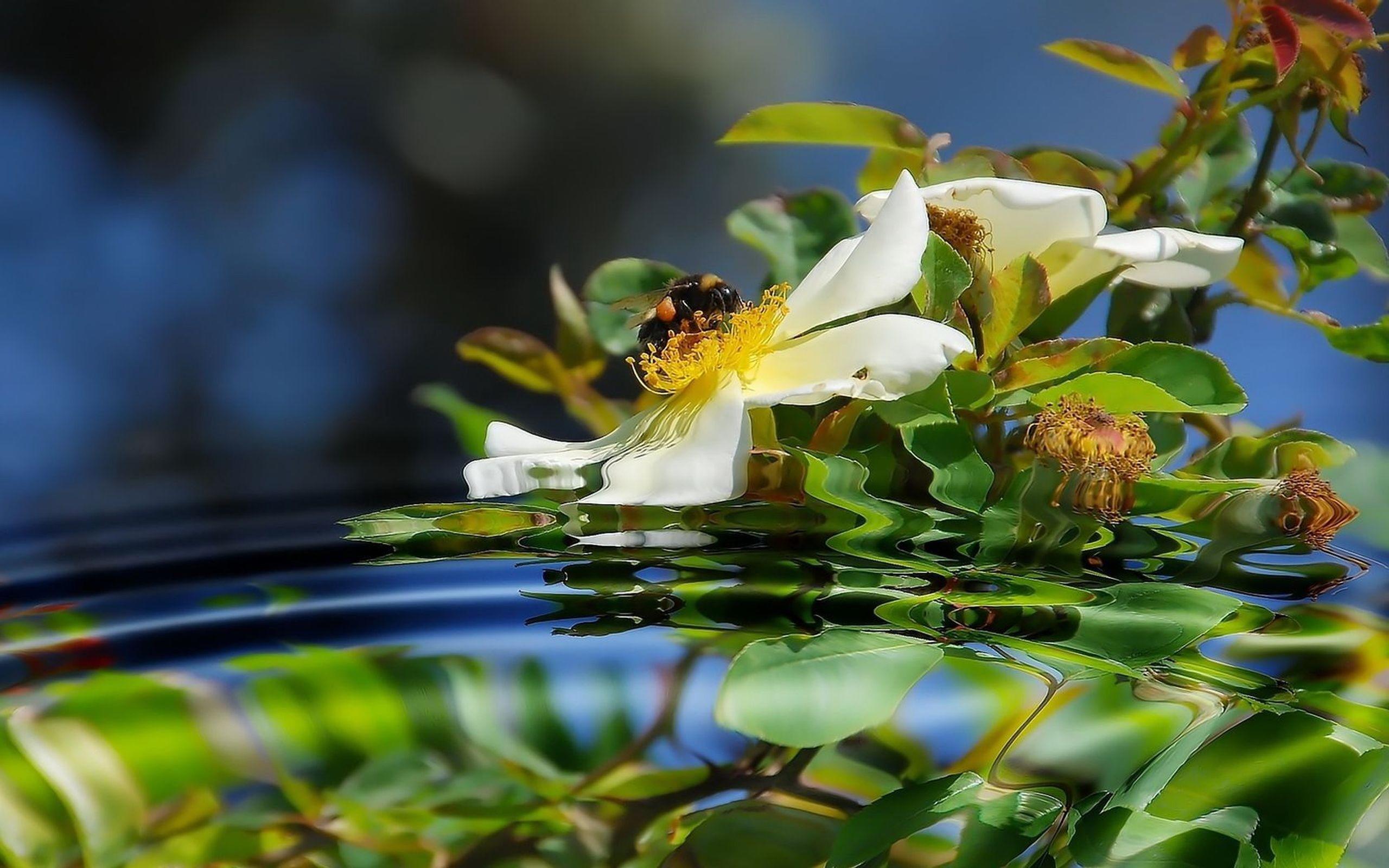 24492 скачать обои Пчелы, Насекомые, Растения, Цветы, Вода - заставки и картинки бесплатно