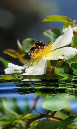 24492 descargar fondo de pantalla Plantas, Flores, Agua, Insectos, Abejas: protectores de pantalla e imágenes gratis