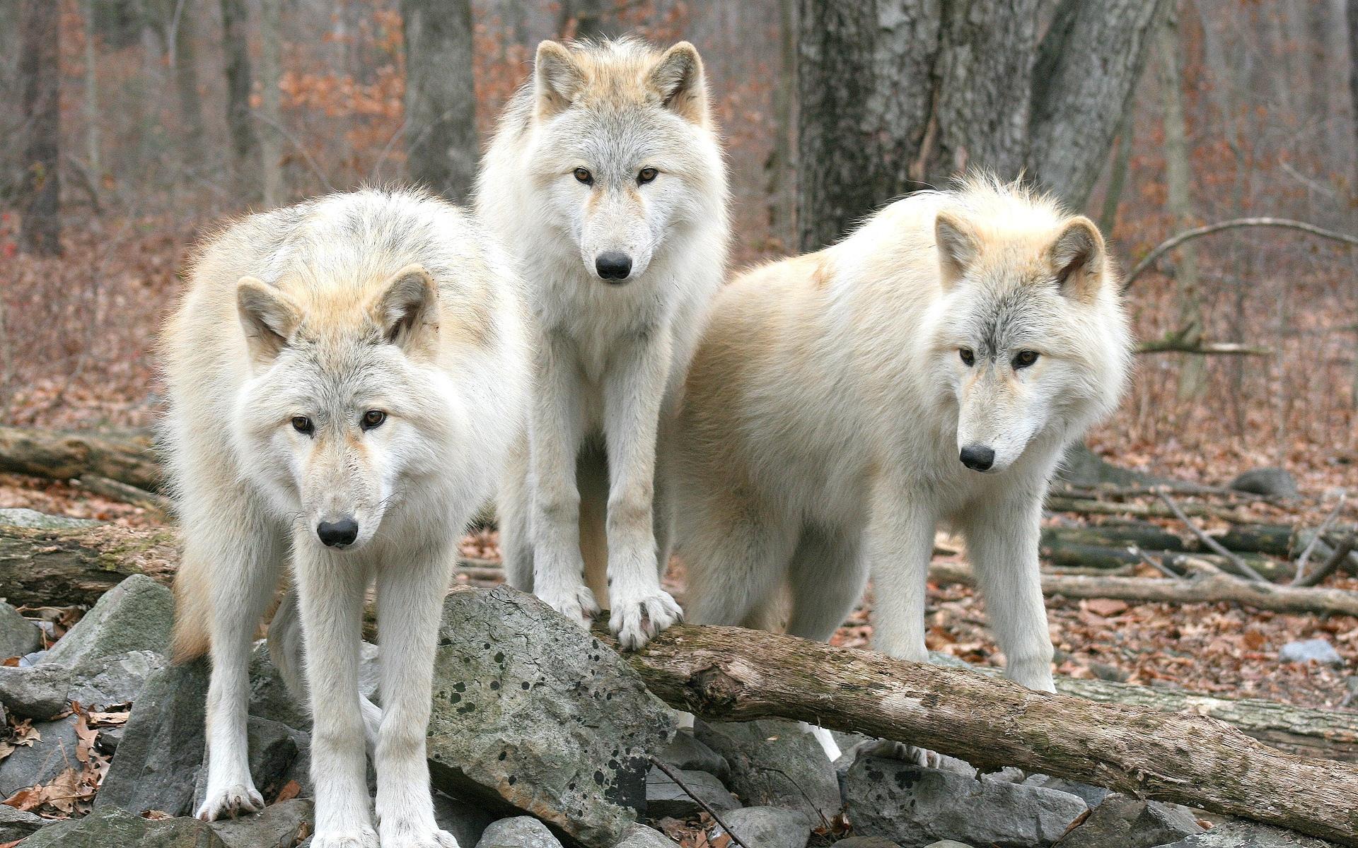 34846 Hintergrundbild herunterladen Wölfe, Tiere - Bildschirmschoner und Bilder kostenlos