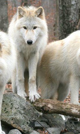 34846 baixar papel de parede Animais, Lobos - protetores de tela e imagens gratuitamente