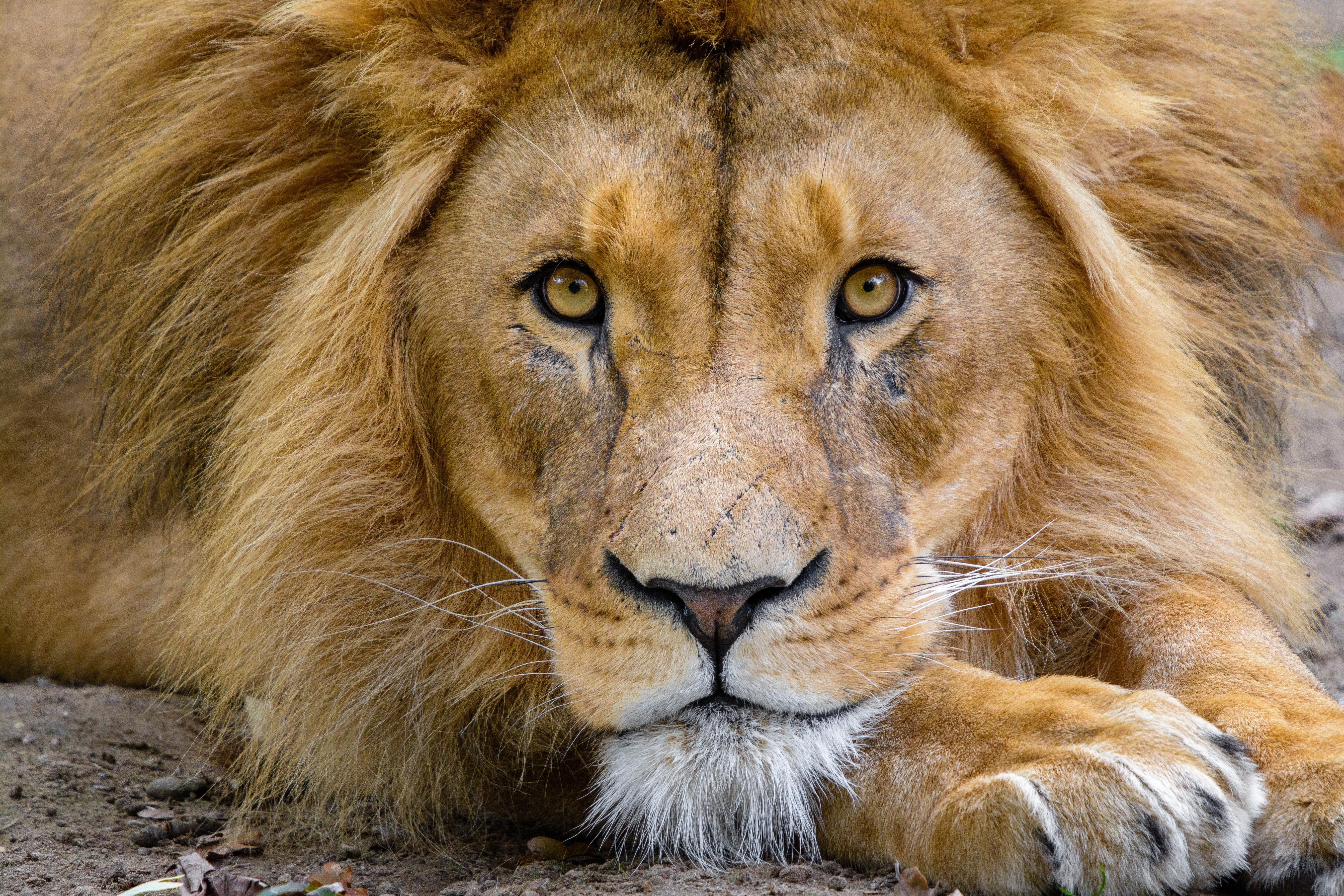 127282 скачать обои Животные, Лев, Морда, Взгляд, Царь Зверей, Хищник, Дикая Природа - заставки и картинки бесплатно