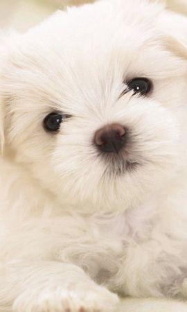 72795 завантажити Білий шпалери на телефон безкоштовно, Тварини, Собака, Пес, Щеня, Цуценя, Малюк Білий картинки і заставки на мобільний