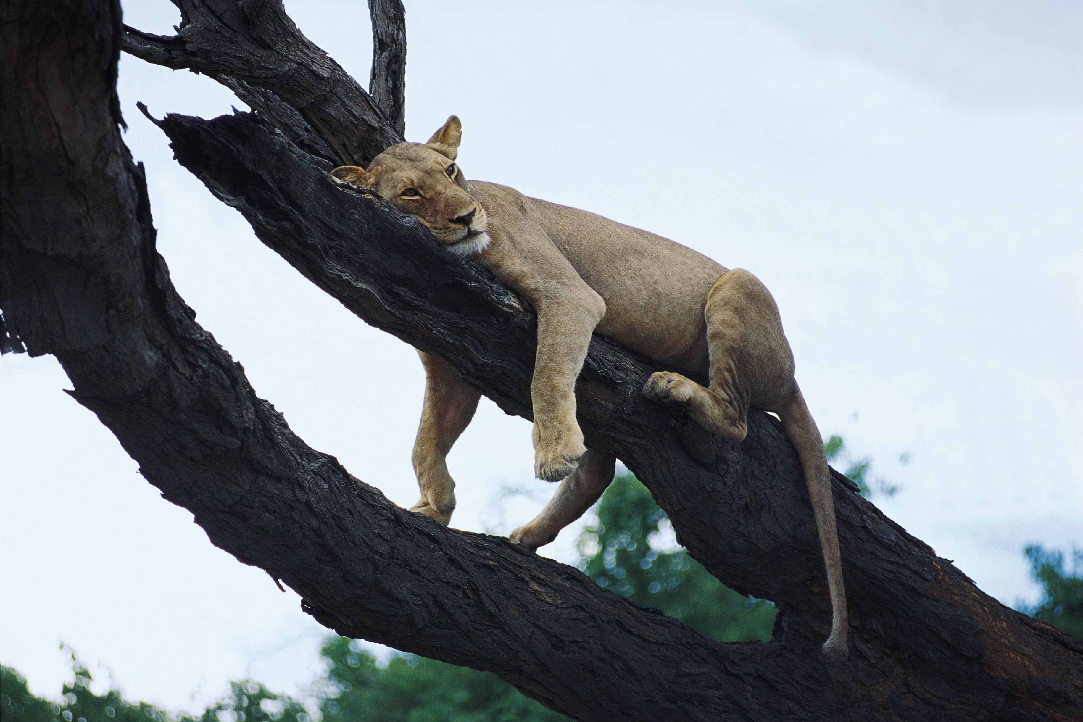 119252 download wallpaper Animals, Lion, Wood, Tree, Relaxation, Rest, Predator screensavers and pictures for free