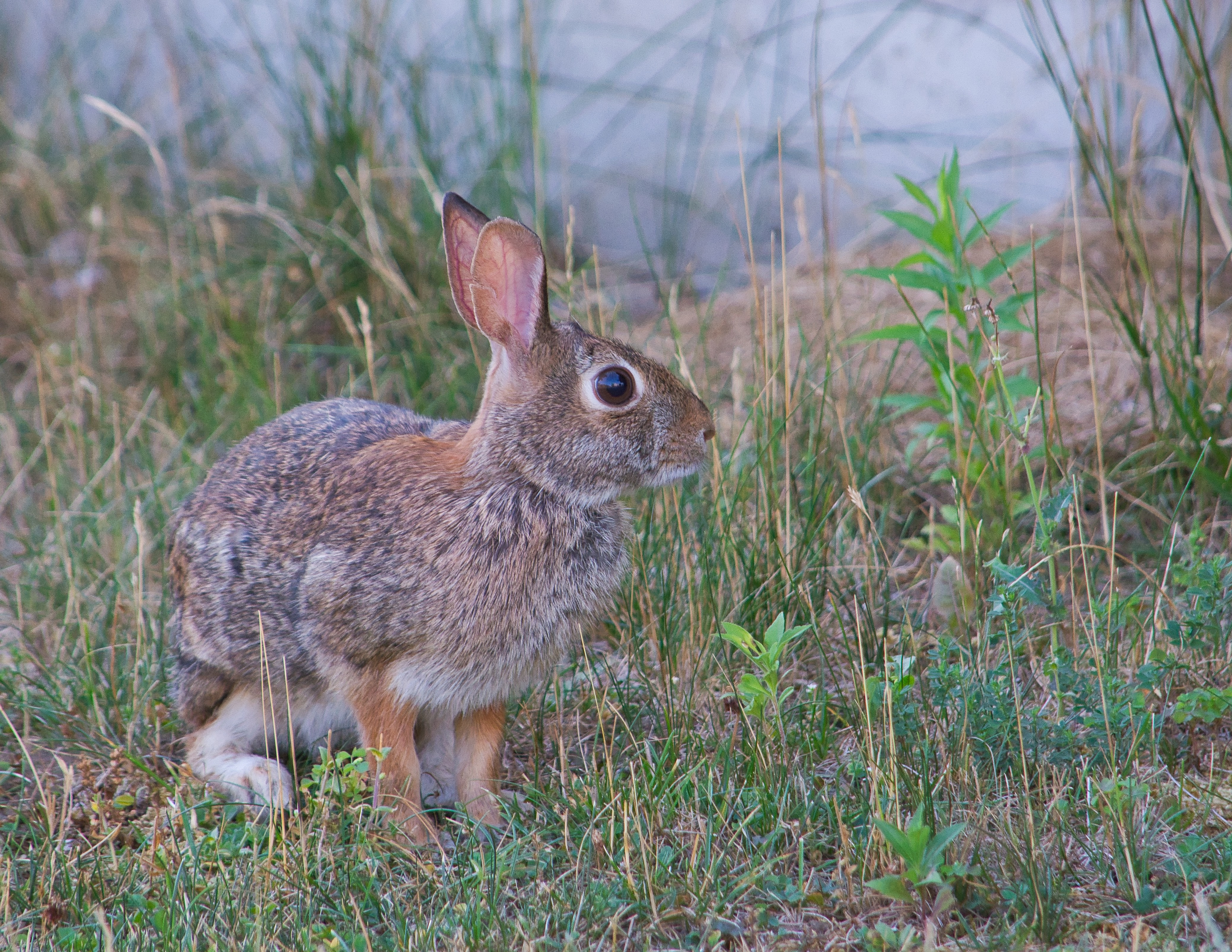 98493 Screensavers and Wallpapers Animal for phone. Download Animals, Hare, Animal, Grey, Grass pictures for free