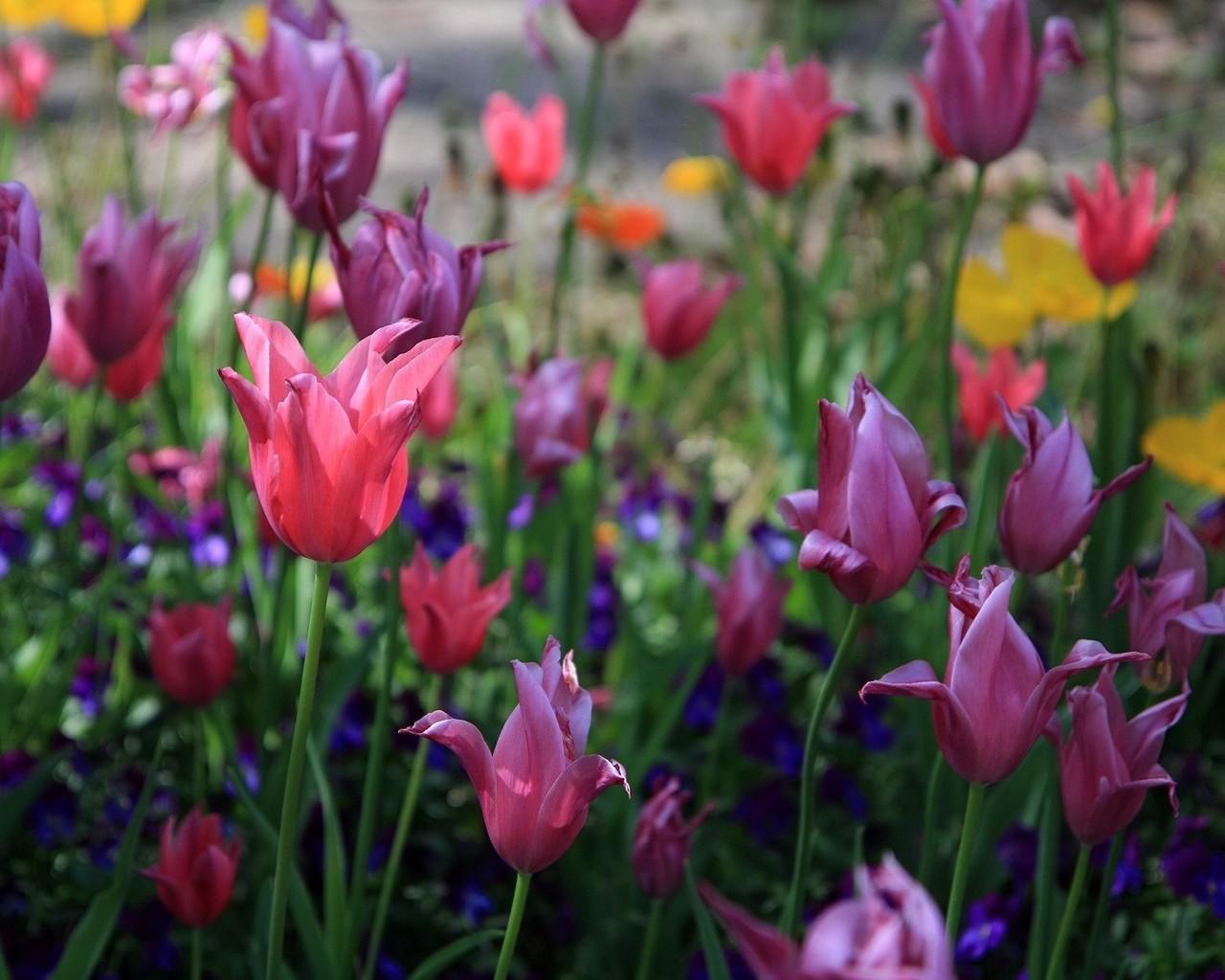 9245 скачать обои Растения, Цветы, Тюльпаны - заставки и картинки бесплатно