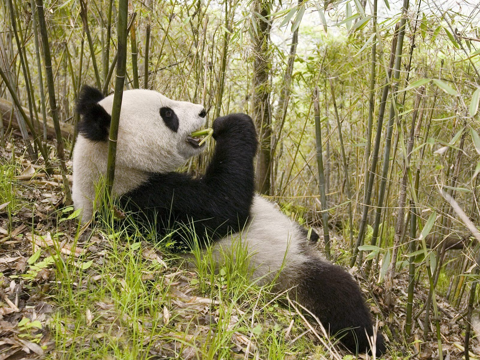 123899 download wallpaper Animals, Panda, Grass, To Lie Down, Lie, Trees screensavers and pictures for free