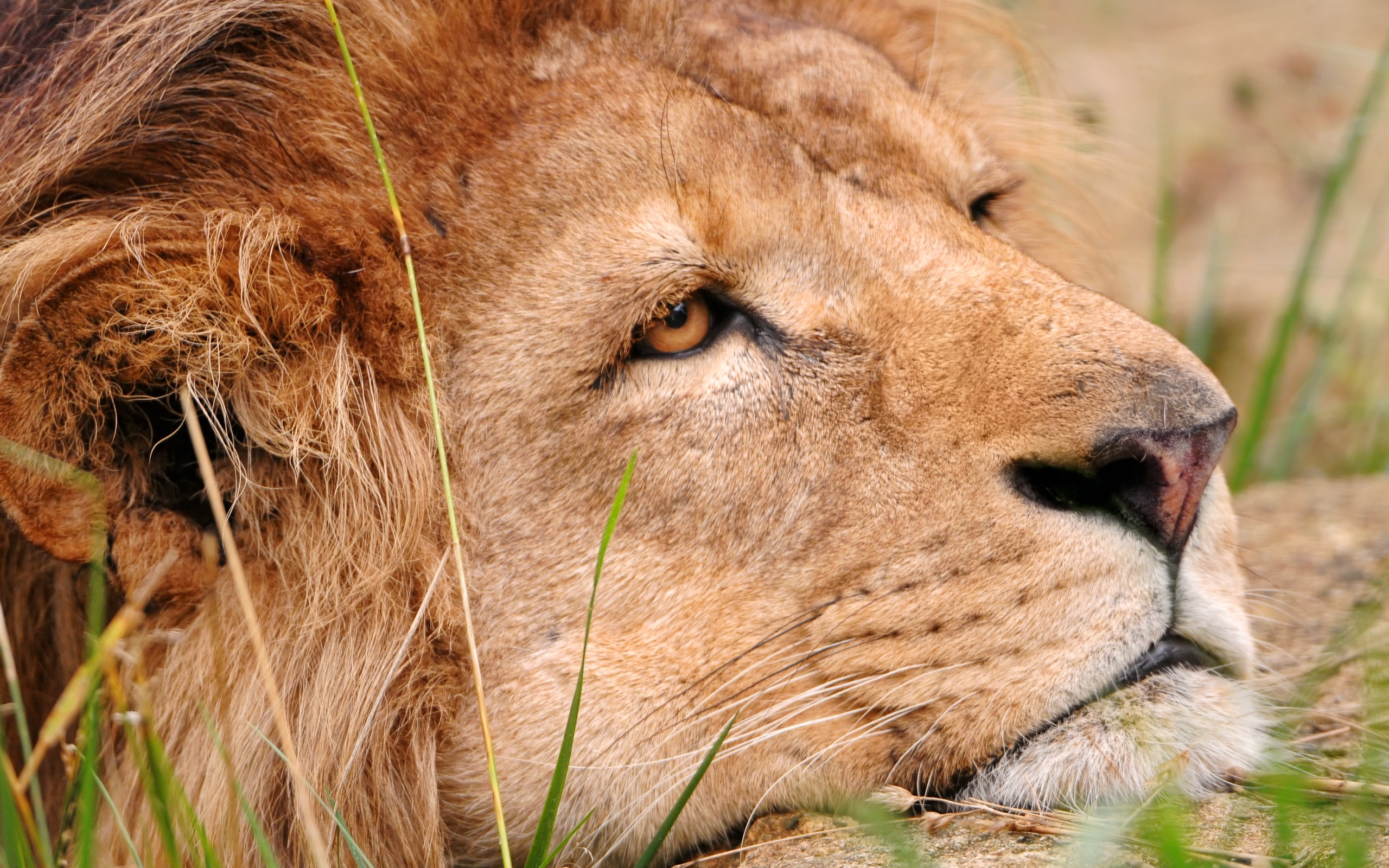 44179 download wallpaper Animals, Tigers screensavers and pictures for free