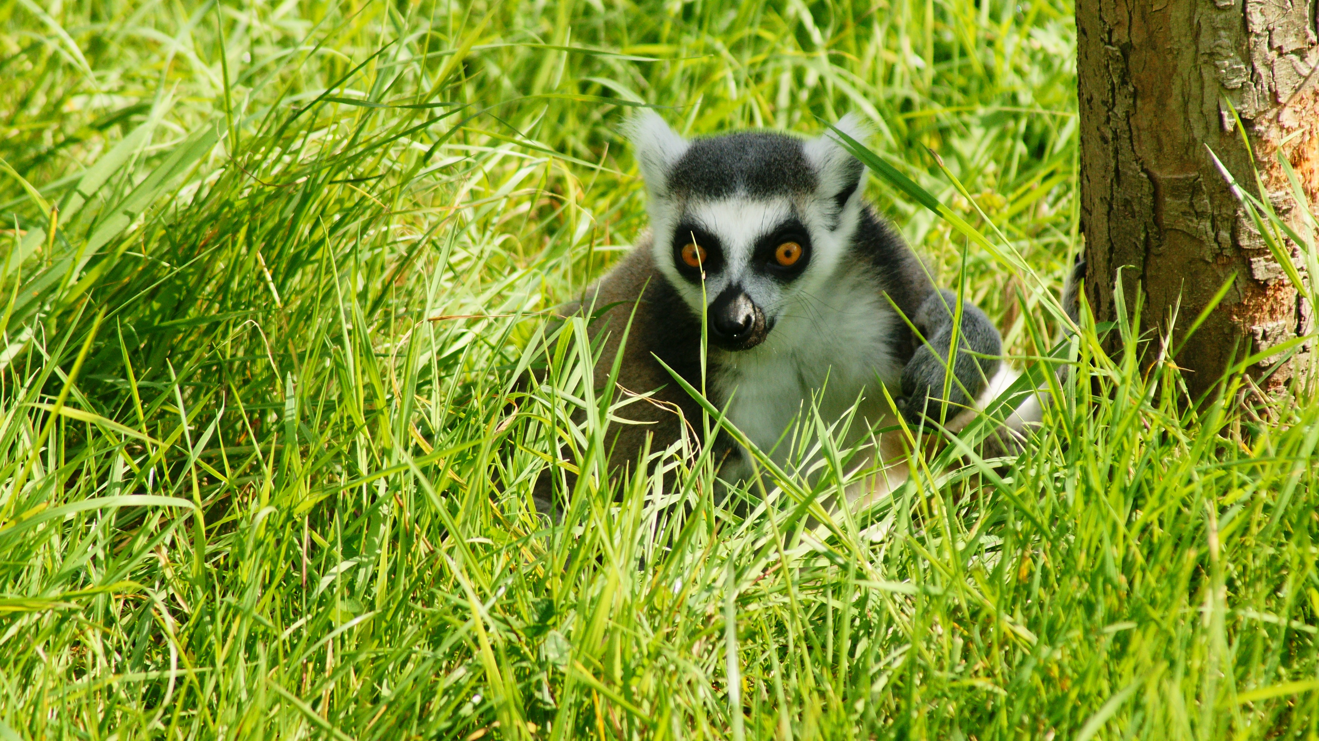 101461 download wallpaper Animals, Lemur, Grass, Beast, Shadow screensavers and pictures for free