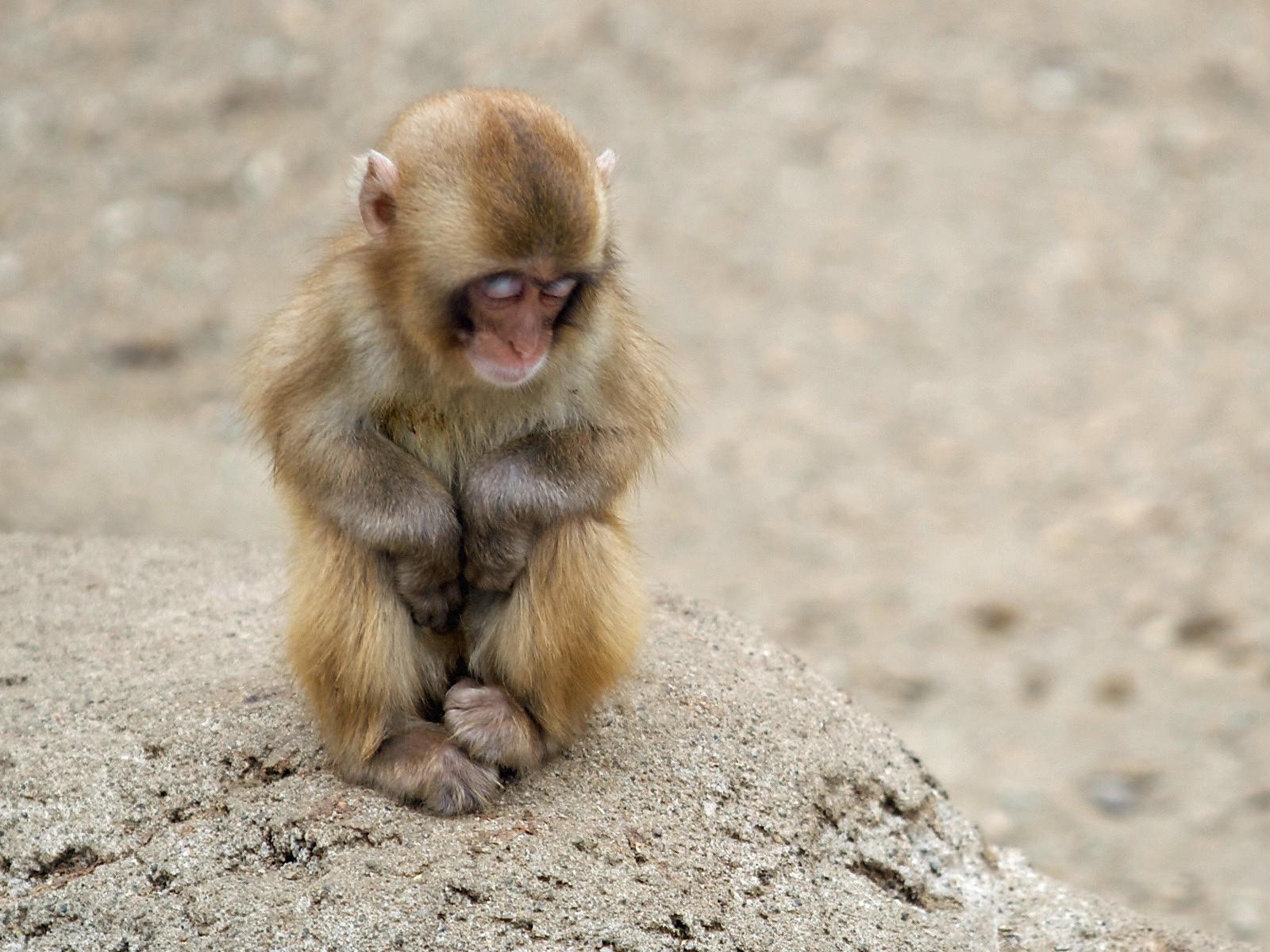 6378 download wallpaper Animals, Monkeys screensavers and pictures for free