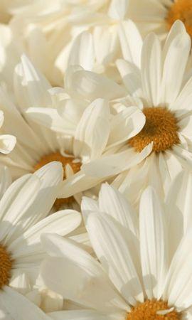 45320 descargar fondo de pantalla Plantas, Flores, Camomila: protectores de pantalla e imágenes gratis
