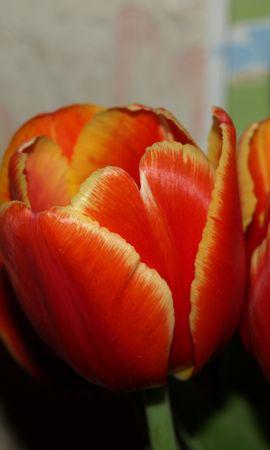 156 скачать обои Растения, Цветы, Тюльпаны - заставки и картинки бесплатно