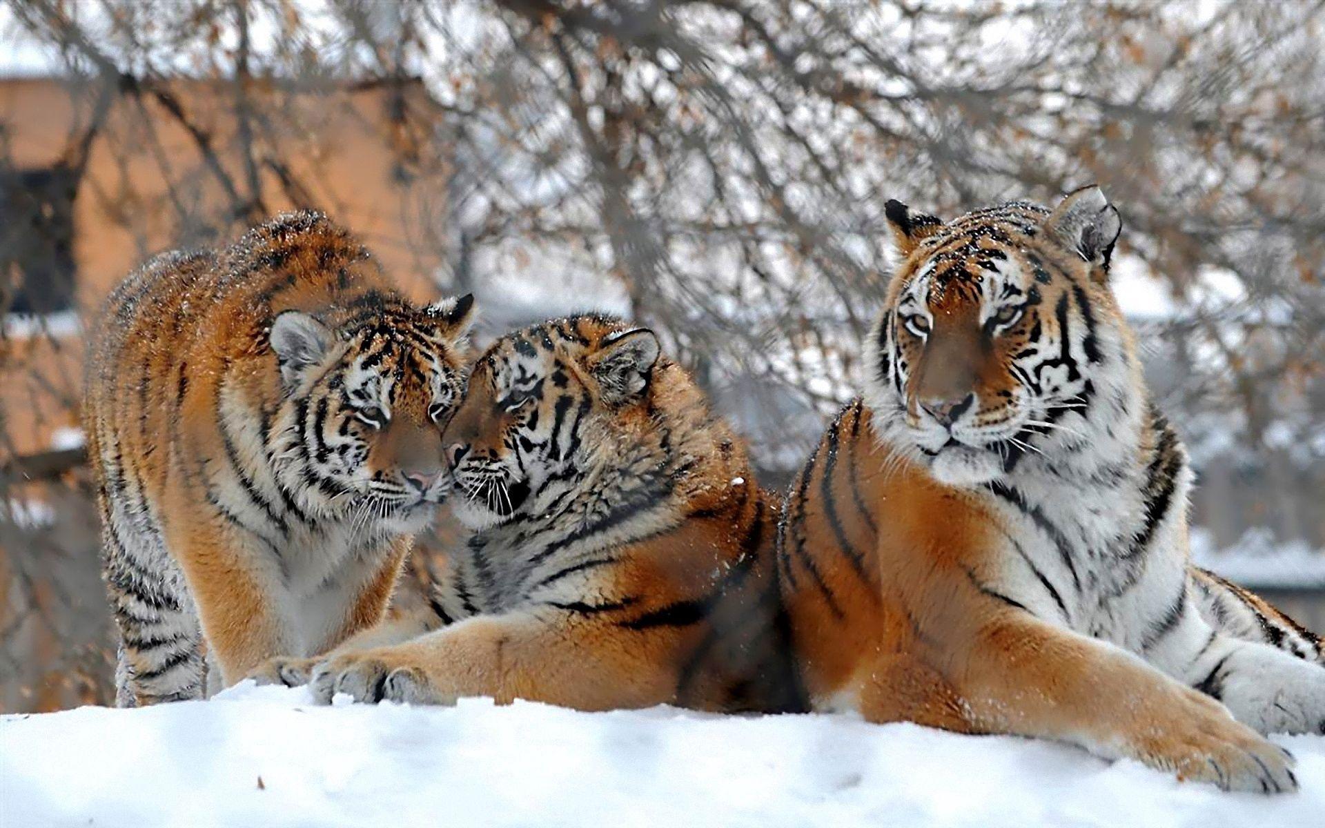 142167壁紙のダウンロード動物, 大きな猫, ビッグキャッツ, 雪, 降雪, 三, 3, 阪神タイガース-スクリーンセーバーと写真を無料で