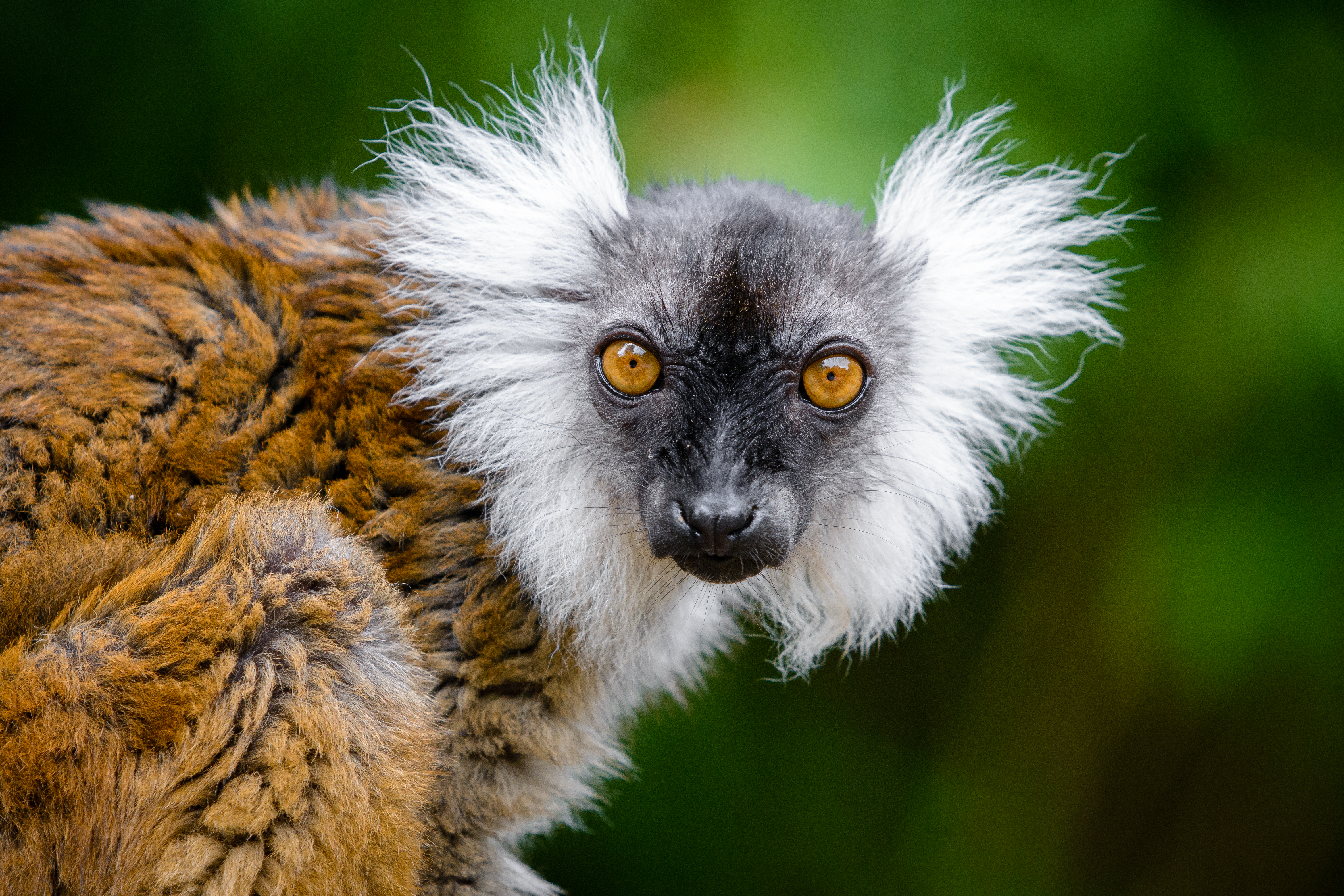 55592 download wallpaper Animals, Lemur, Sight, Opinion, Funny, Animal, Wildlife screensavers and pictures for free