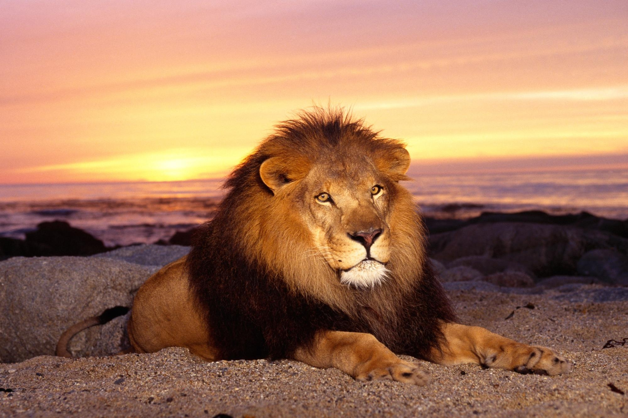 150242 download wallpaper Animals, Lion, Sunset, Mane, King Of Beasts, King Of The Beasts, Predator, To Lie Down, Lie, Calmness, Tranquillity screensavers and pictures for free