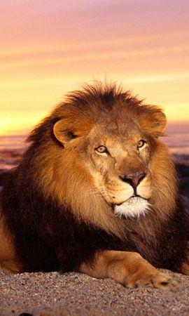 150242 скачать обои Животные, Лев, Закат, Грива, Царь Зверей, Хищник, Лежать, Спокойствие - заставки и картинки бесплатно