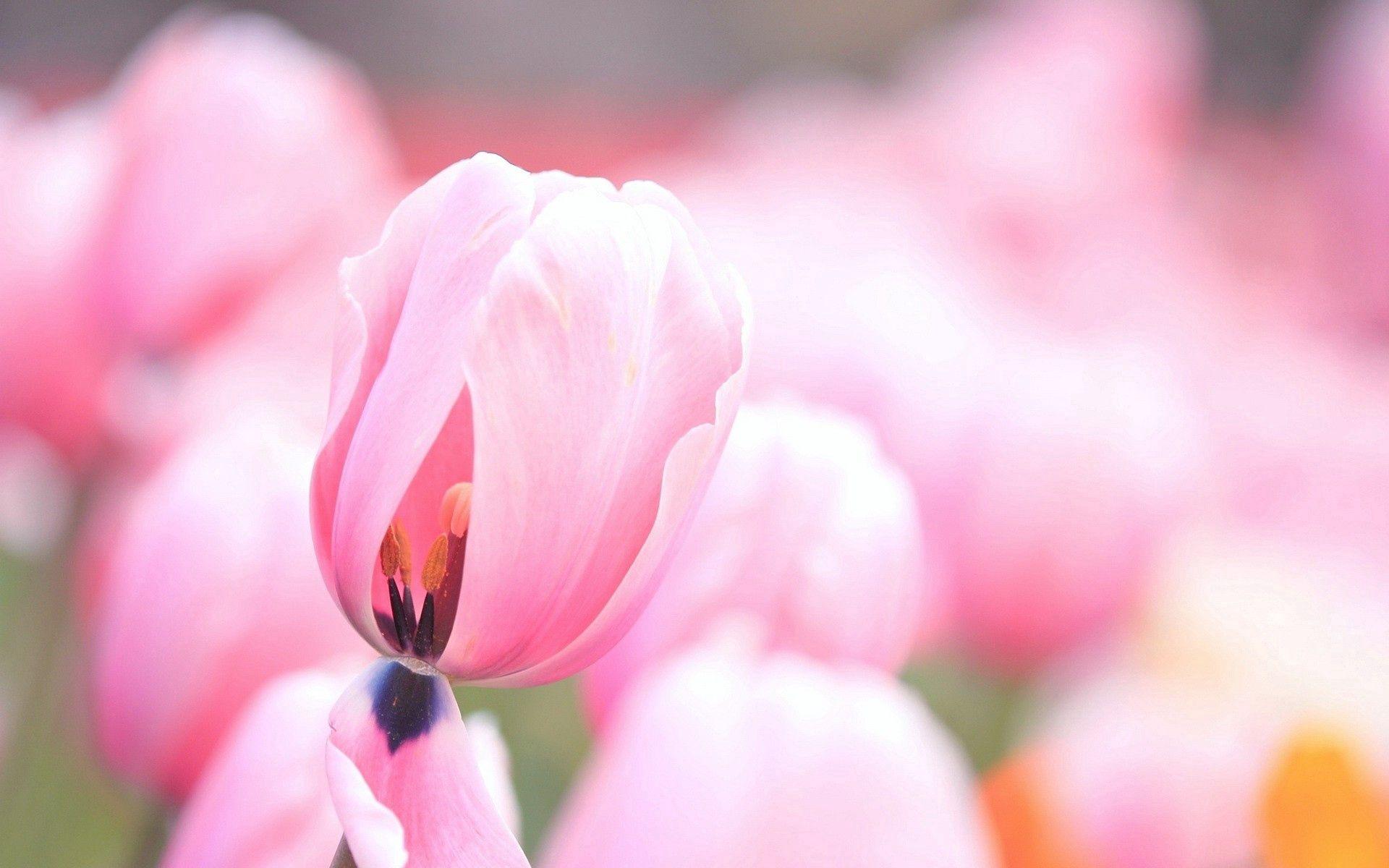 146701 скачать обои Тюльпаны, Цветы, Макро, Розовые - заставки и картинки бесплатно