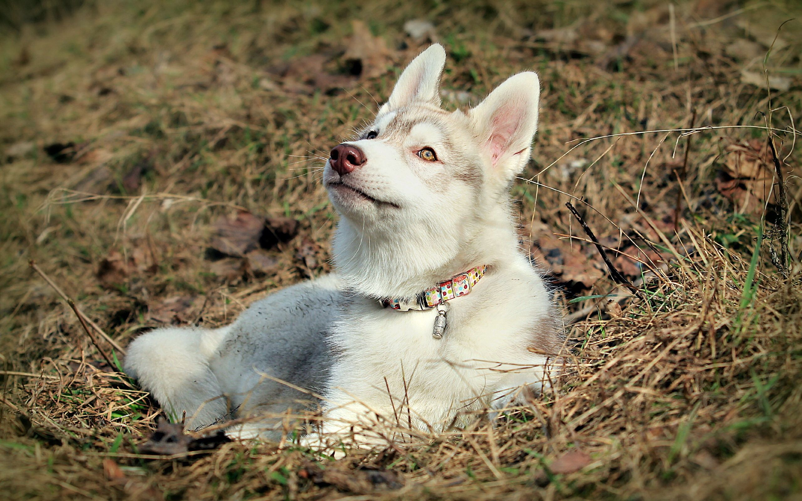 107610 download wallpaper Animals, Husky, Haska, Dog, Muzzle, Ears screensavers and pictures for free