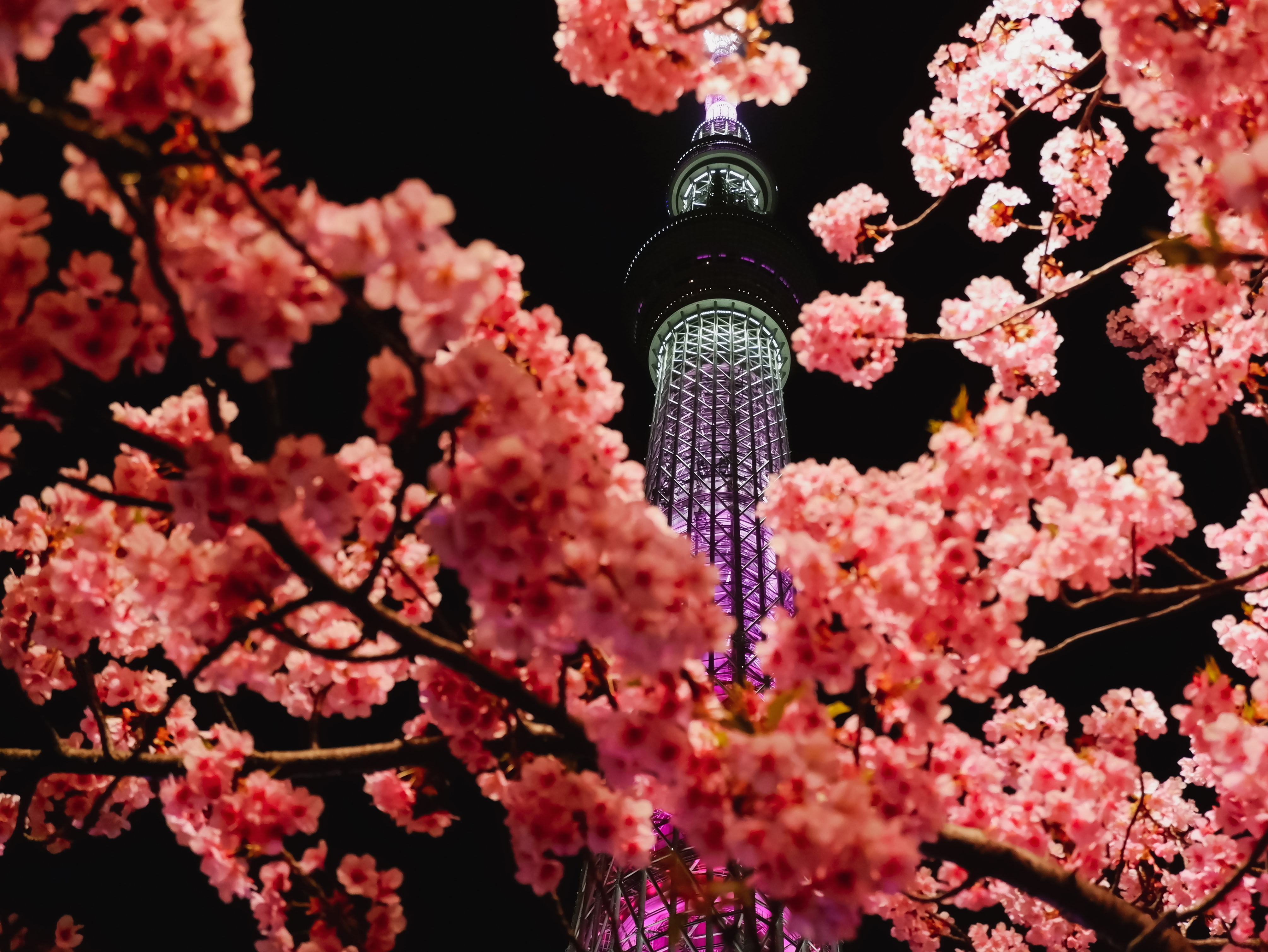 54598 Screensavers and Wallpapers Sakura for phone. Download Flowers, Sakura, Miscellanea, Miscellaneous, Branches, Backlight, Illumination, Tower pictures for free