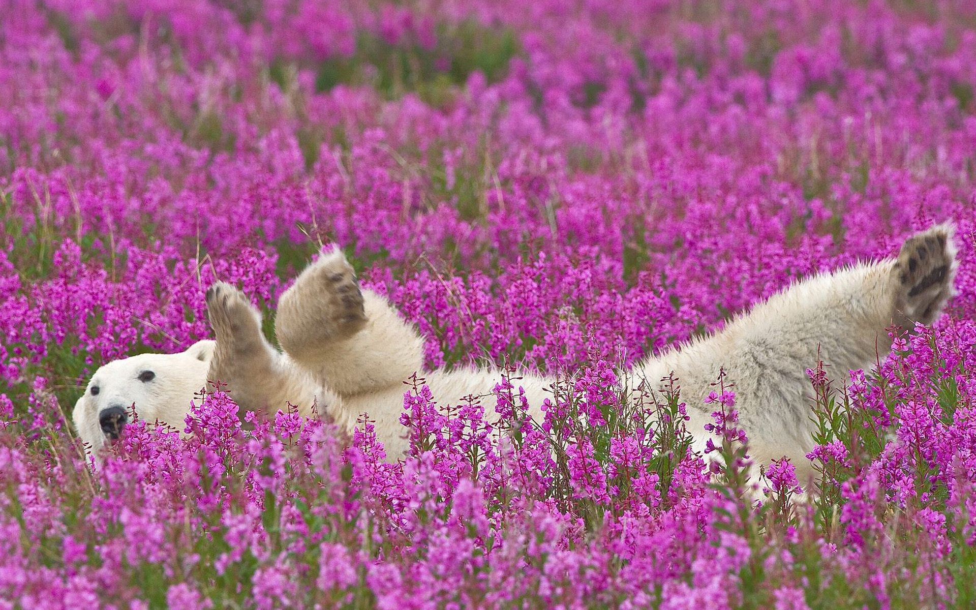111642 download wallpaper Animals, Polar Bear, To Lie Down, Lie, Young, Joey, Flowers screensavers and pictures for free