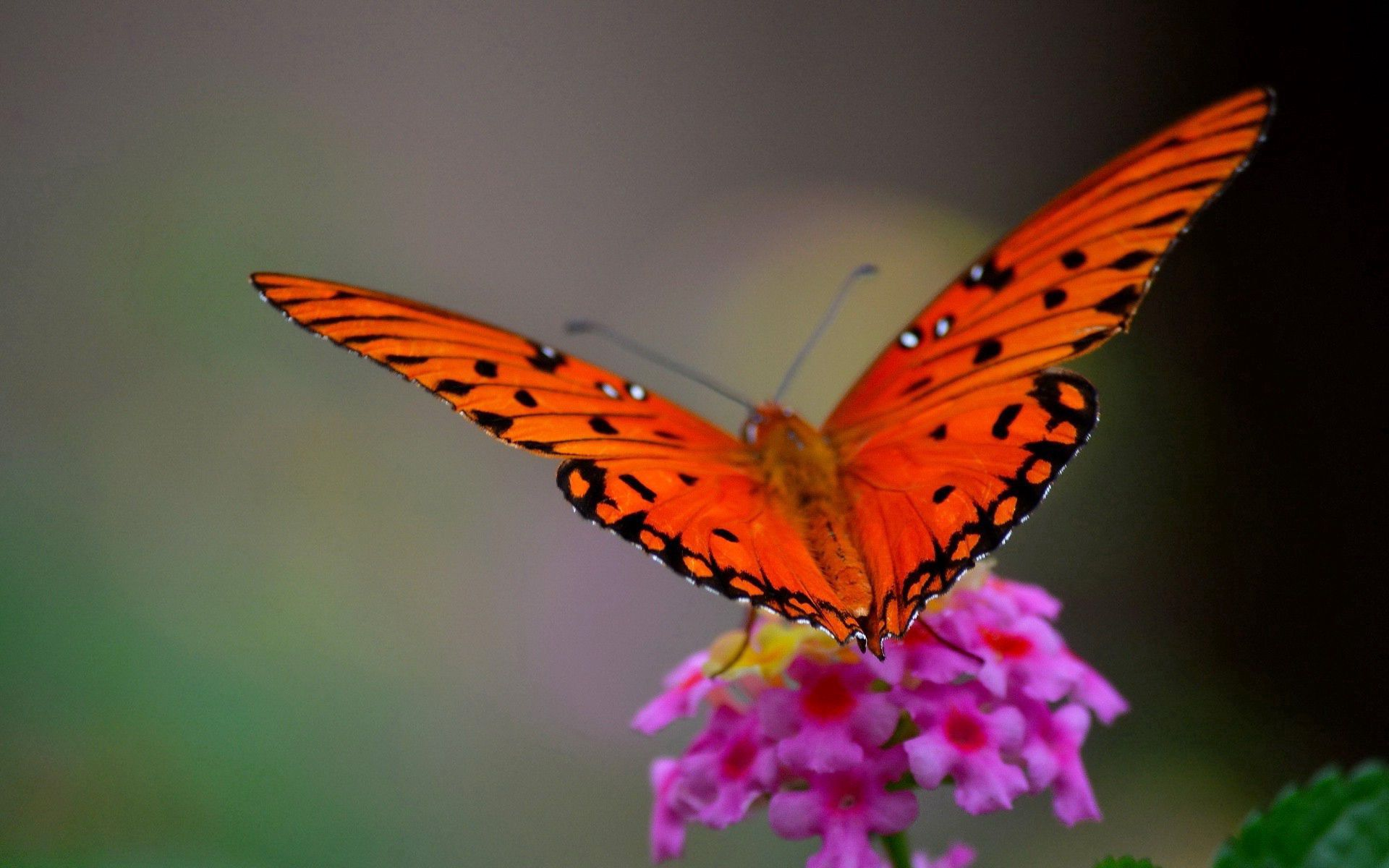 64684 Screensavers and Wallpapers Petals for phone. Download Butterfly, Flower, Macro, Petals, Wings pictures for free