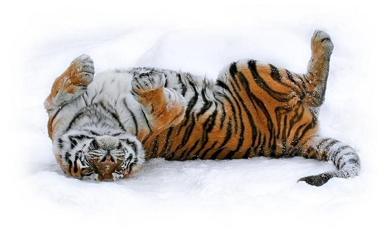 6190 download wallpaper Animals, Winter, Tigers, Snow screensavers and pictures for free