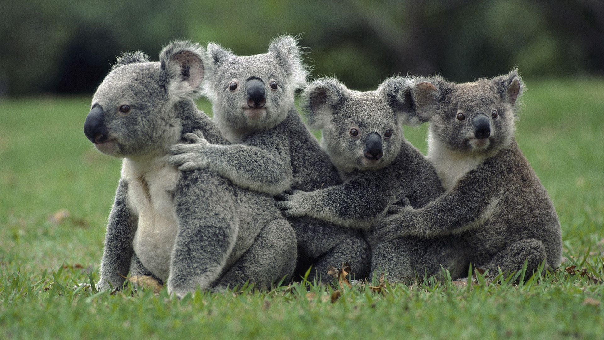 118757 download wallpaper Animals, Grass, Koalas, Sit, Family screensavers and pictures for free